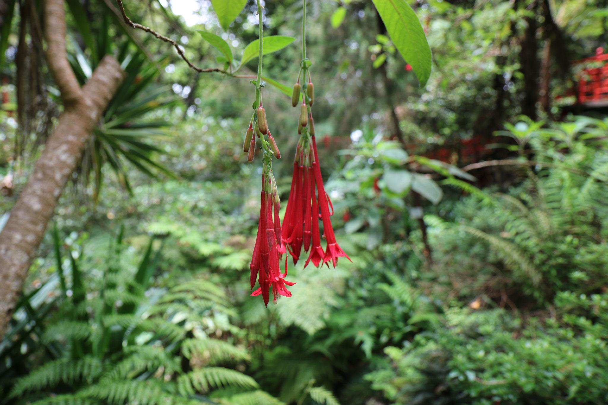 Fuchsia (Fuchsia boliviana, Onagracées)