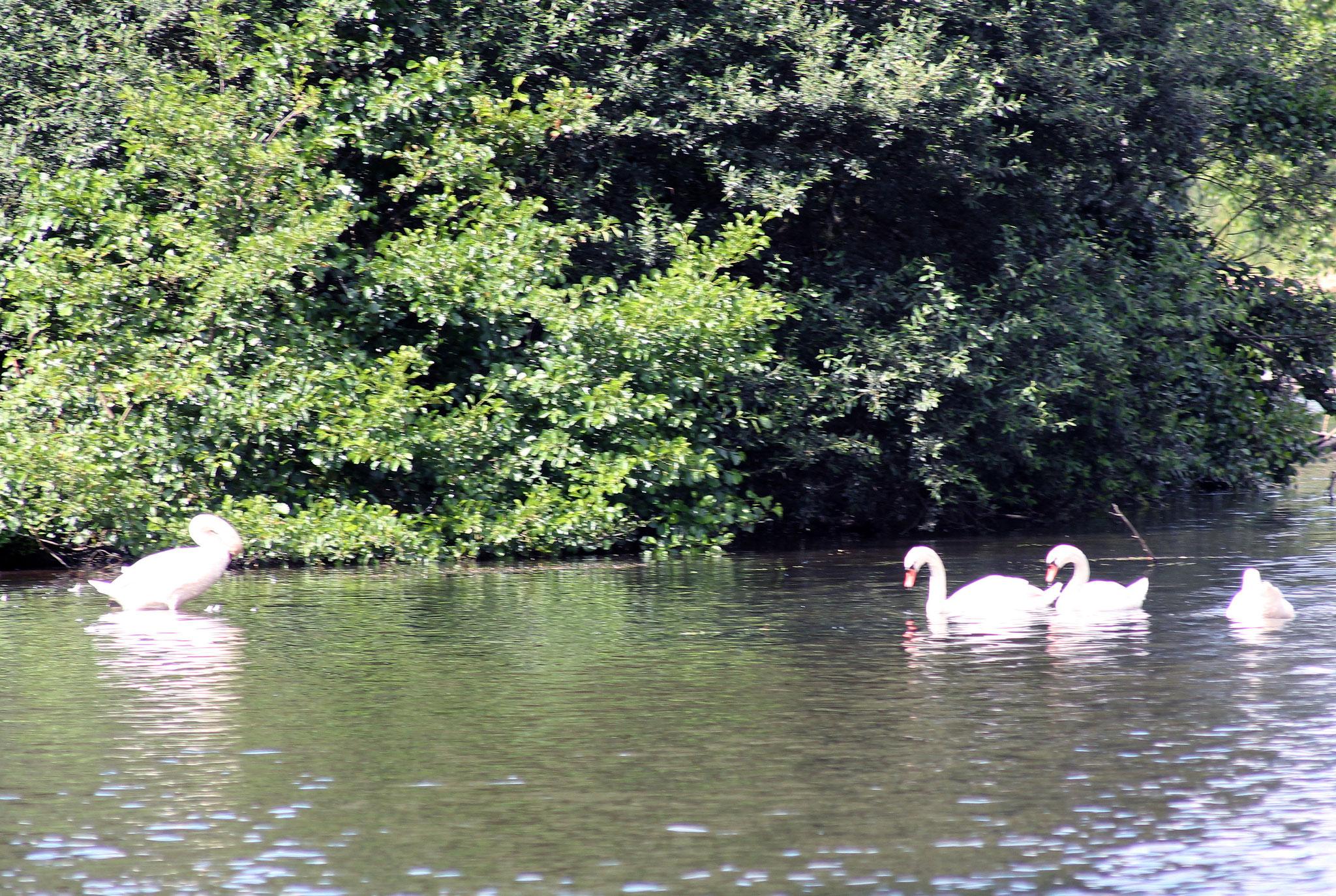 une famille cygnes