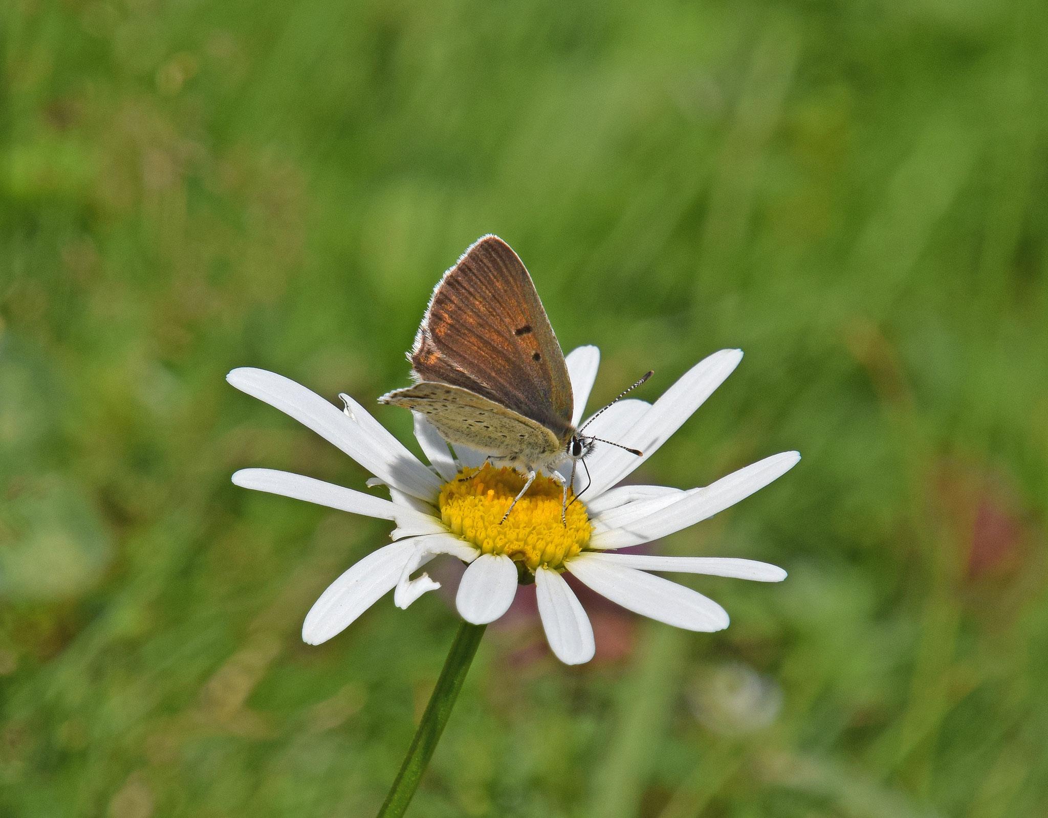 Bruine vuurvlinder ssp subalpinus