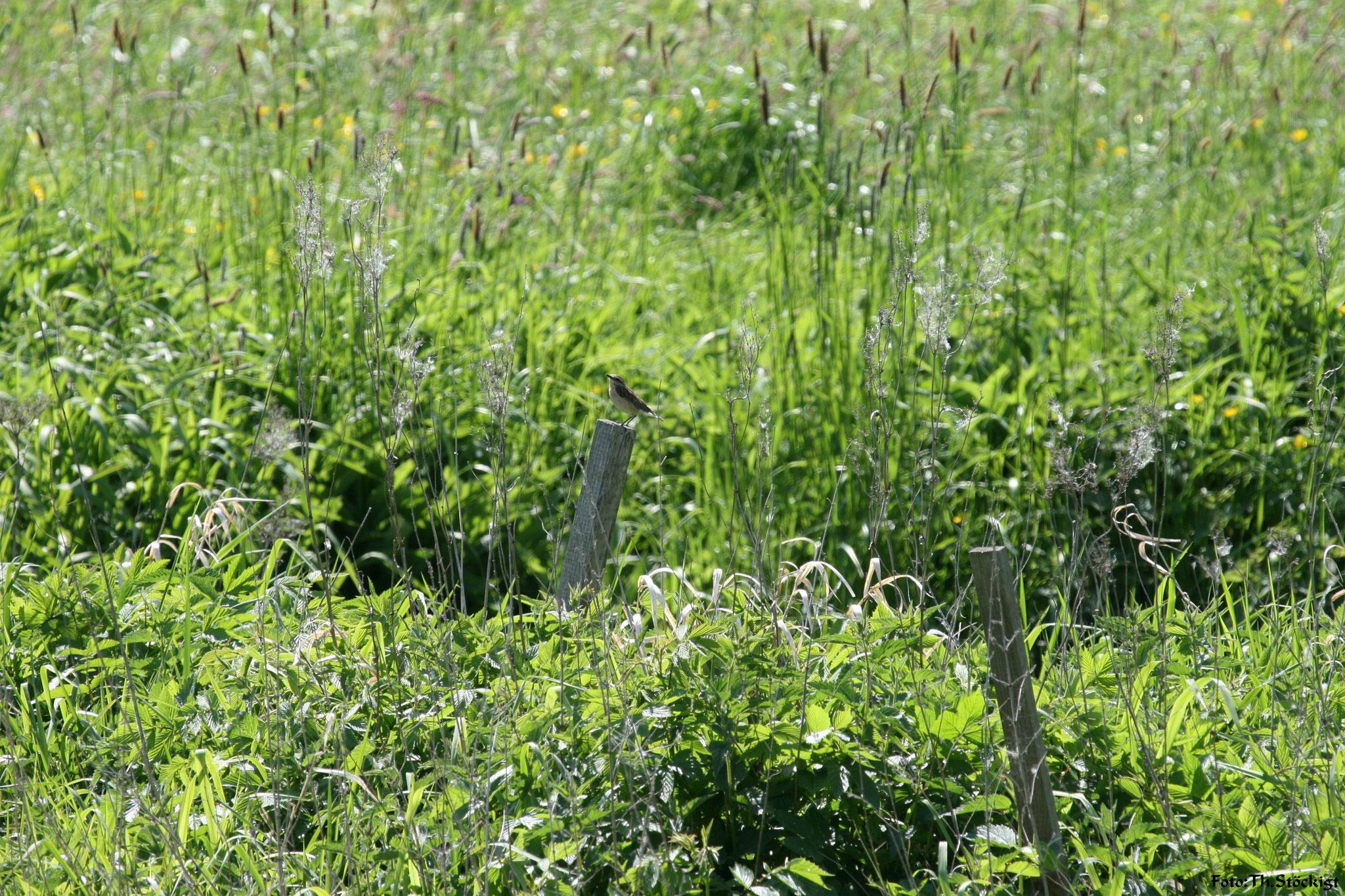 Braunkehlchenweibchen im südlichen Regnitzgrund