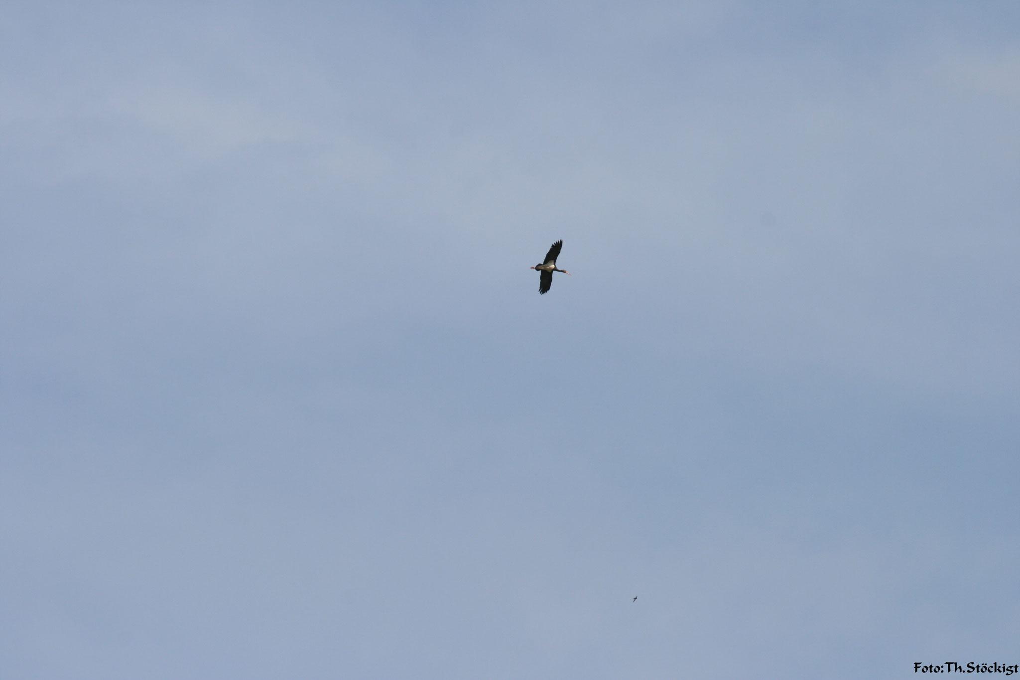 Schwarzstorch, Altvogel im Flug
