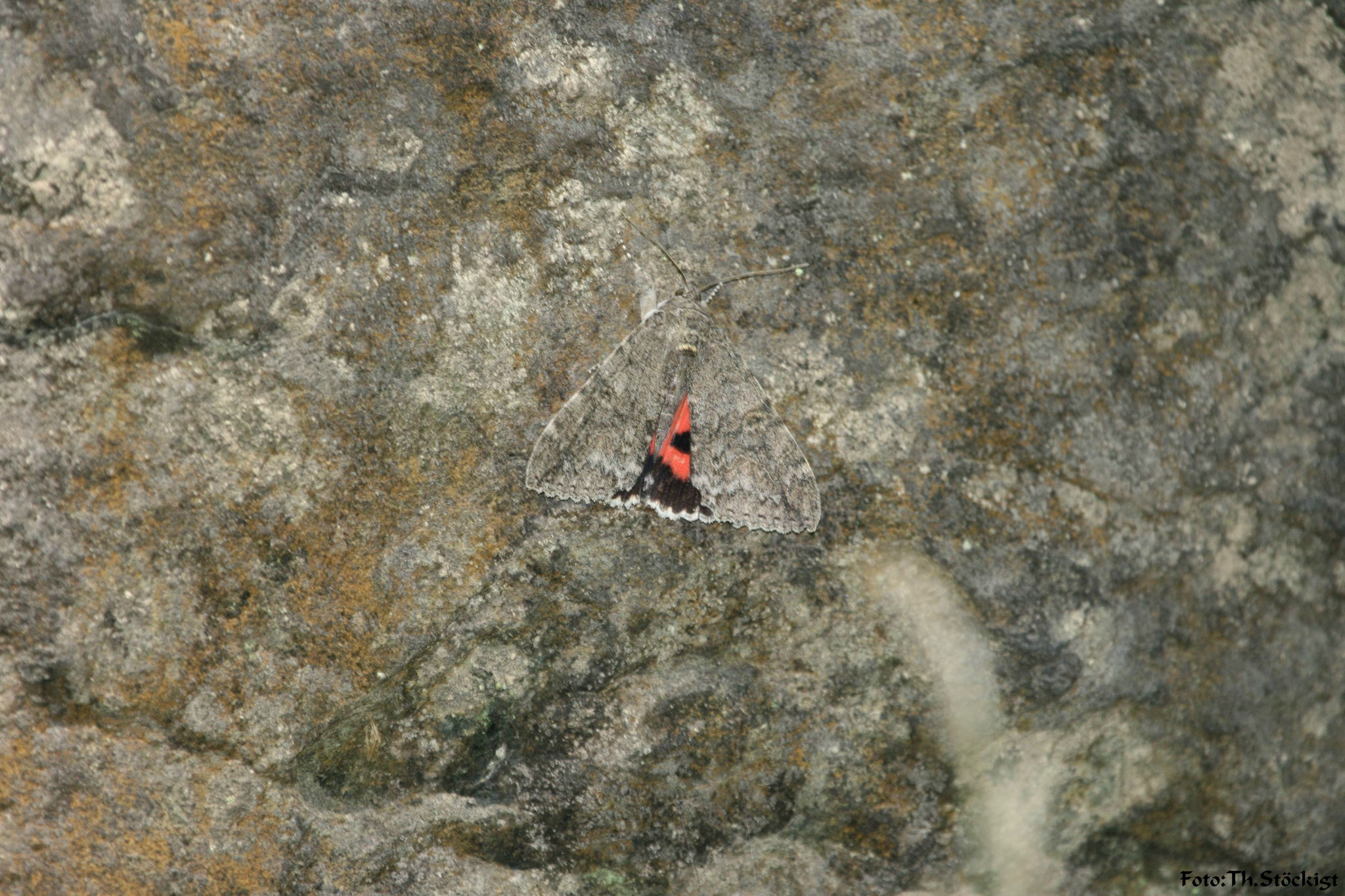 Rotes Ordensband Catocala nupta