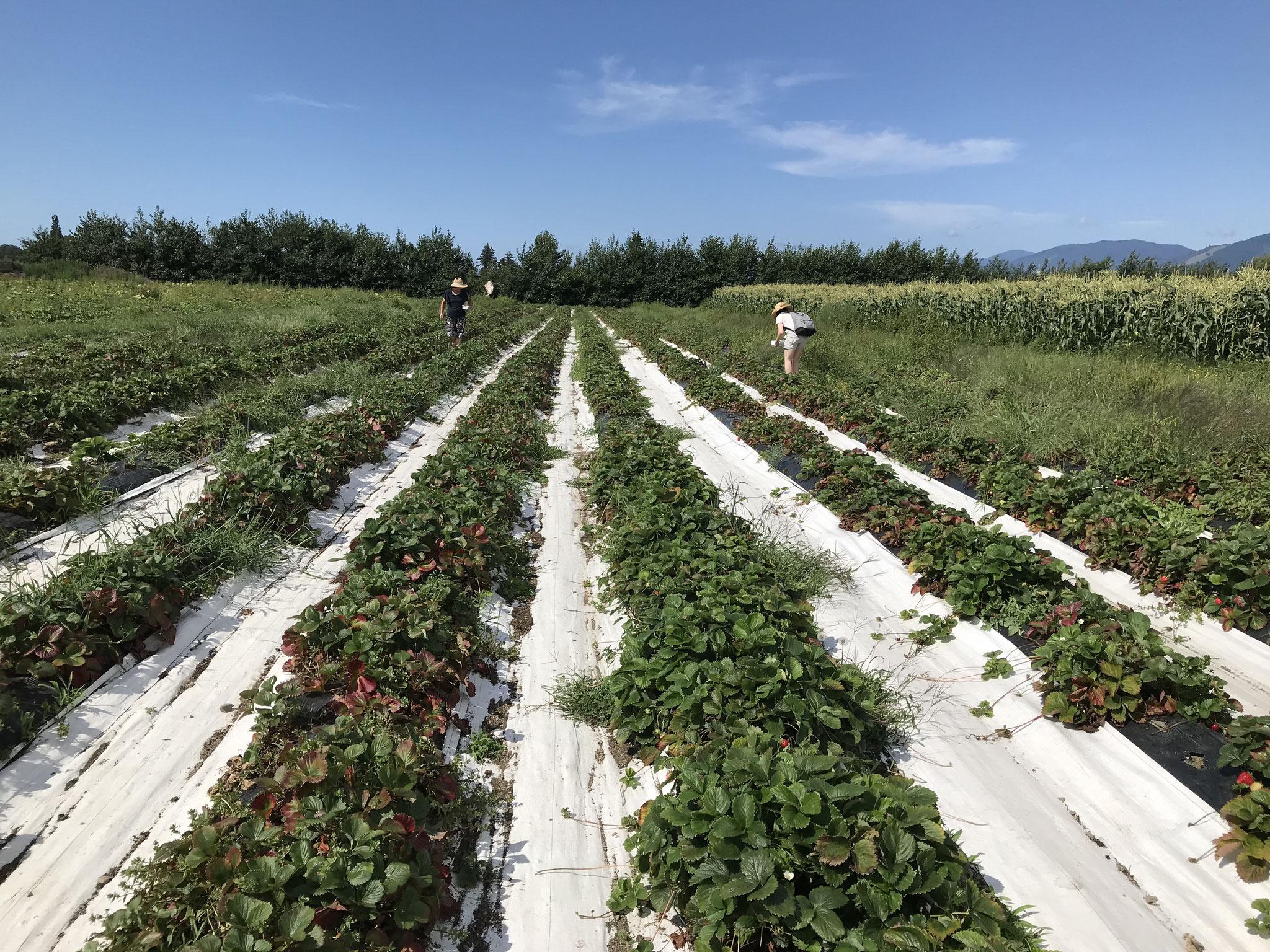 近くの農園でストロベリーを摘んで来れます
