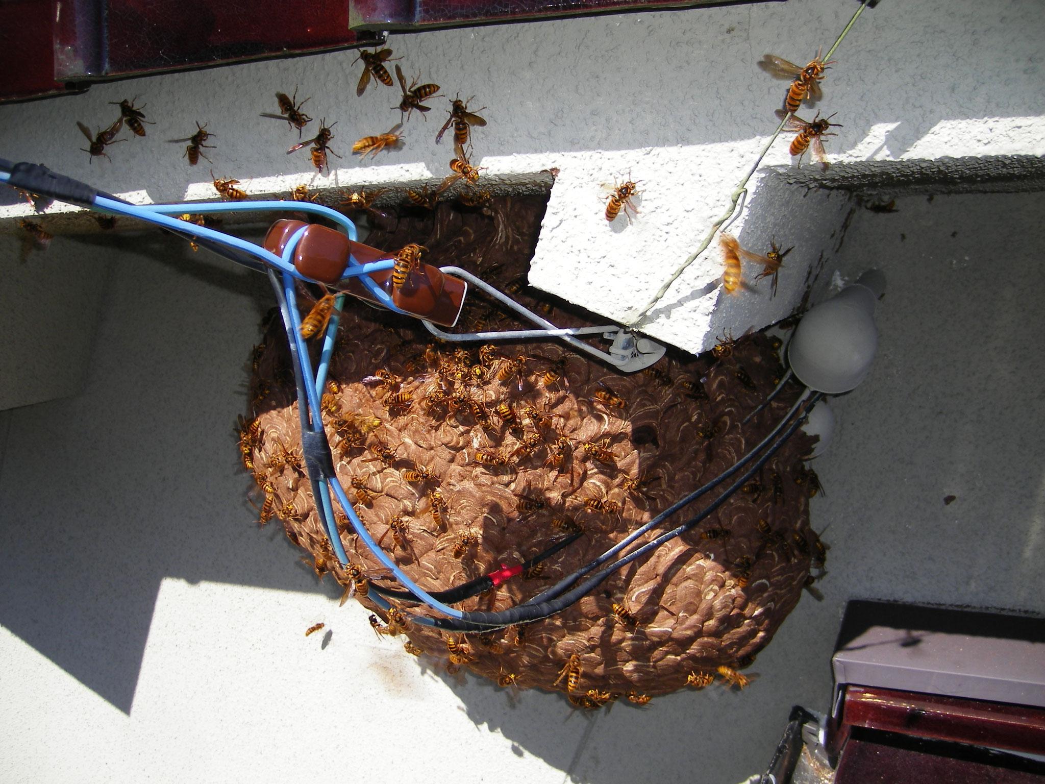 キイロスズメバチ 軒下営巣
