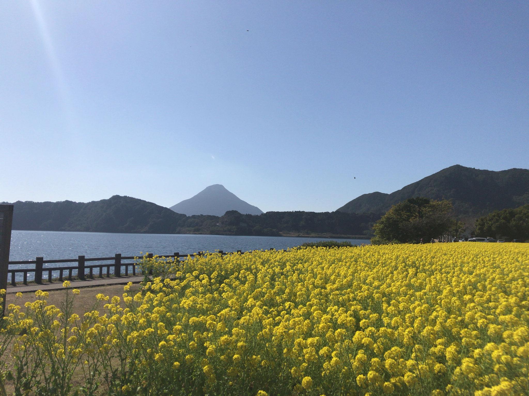 菜の花、池田湖、開聞岳(指宿市)