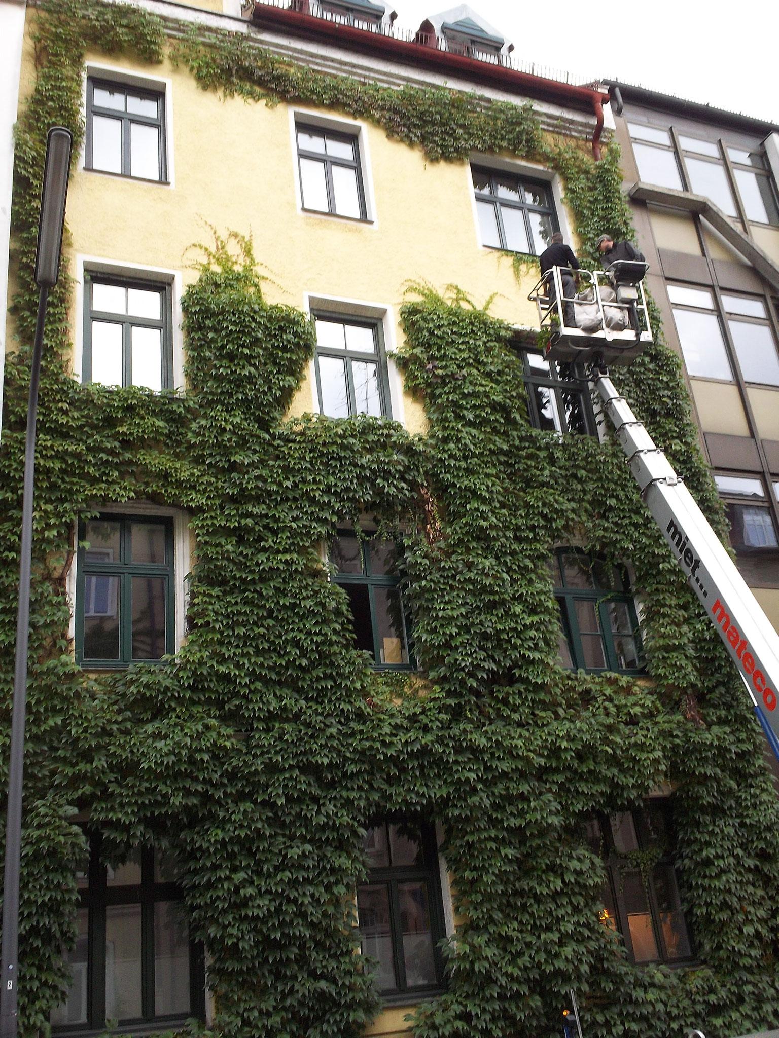 Rückschnitt von Wein an Hausfassade in München
