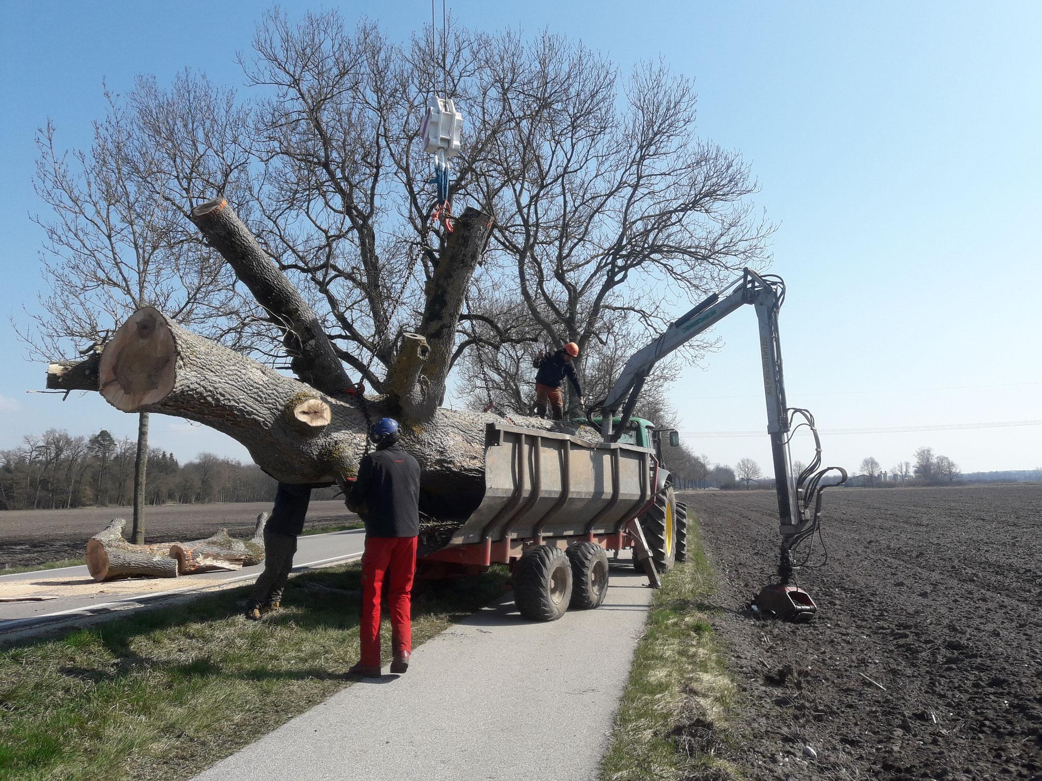 Bergung eines Biotopbaumes
