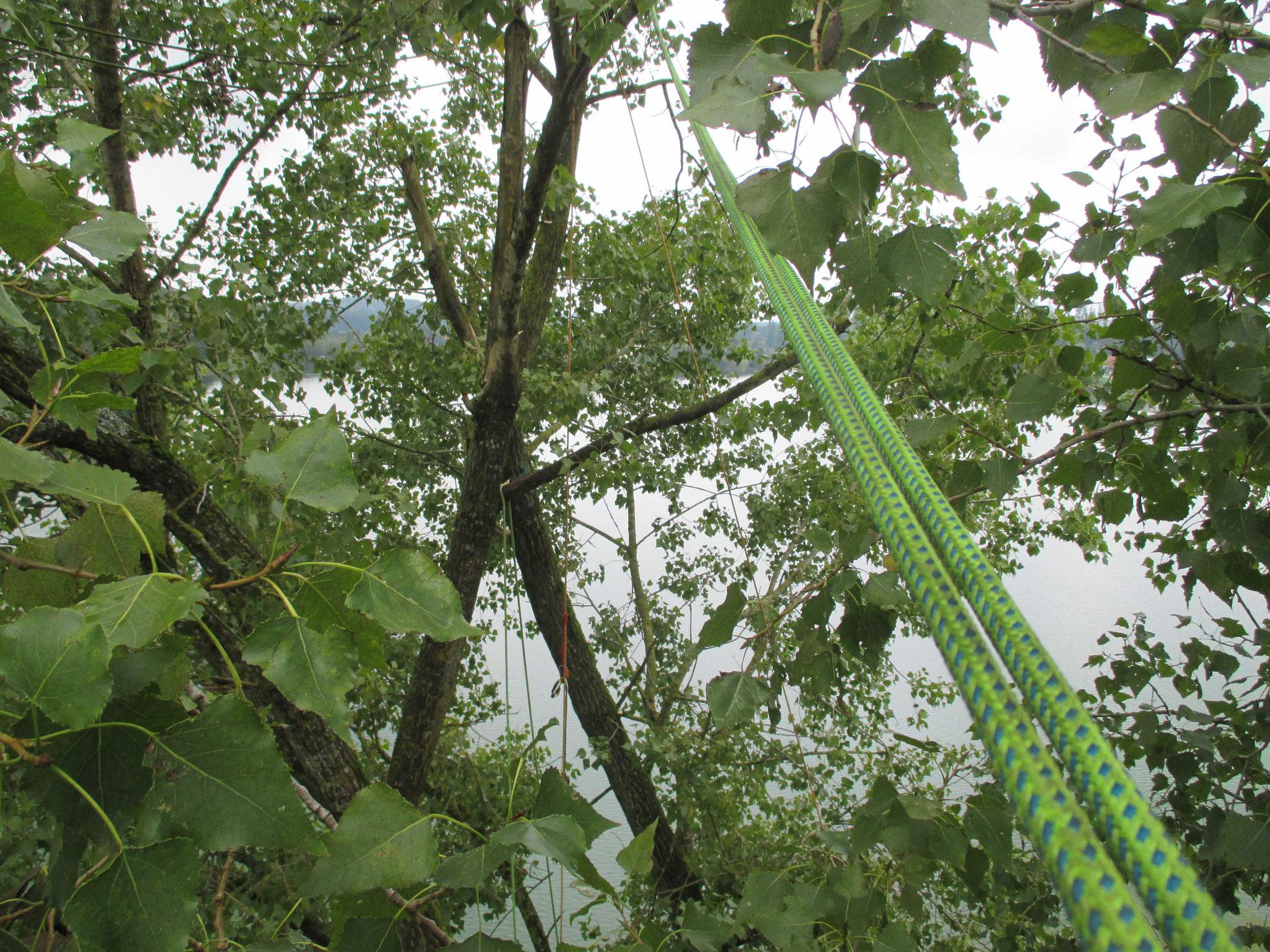 Baumschnitt Seeon, Blick in die Baumkrone einer Pappel.