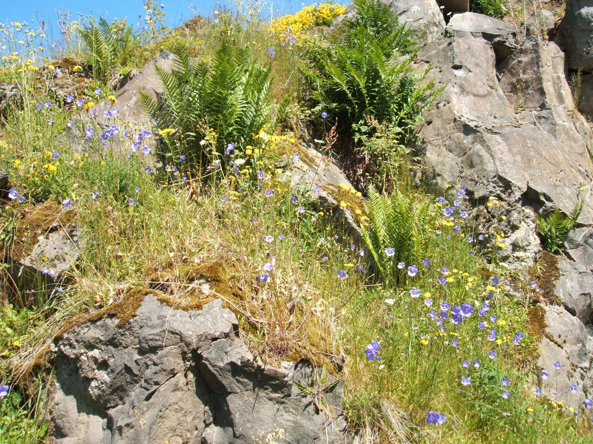 Felsen und Blütenpracht im NABU-Schutzgebiet Assebergbruch bei Daun-Waldkönigen