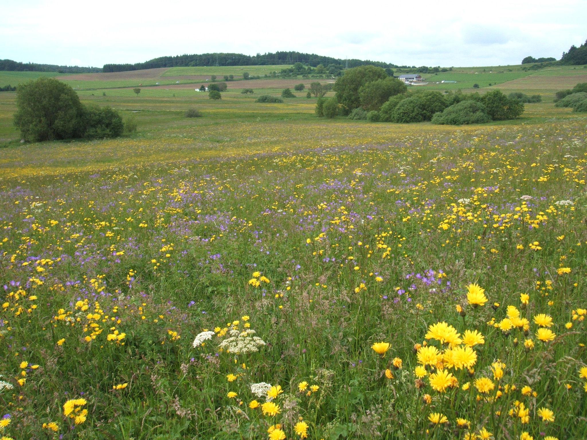 Blütenpracht auf den NABU-Flächen im Kirchweiler Rohr