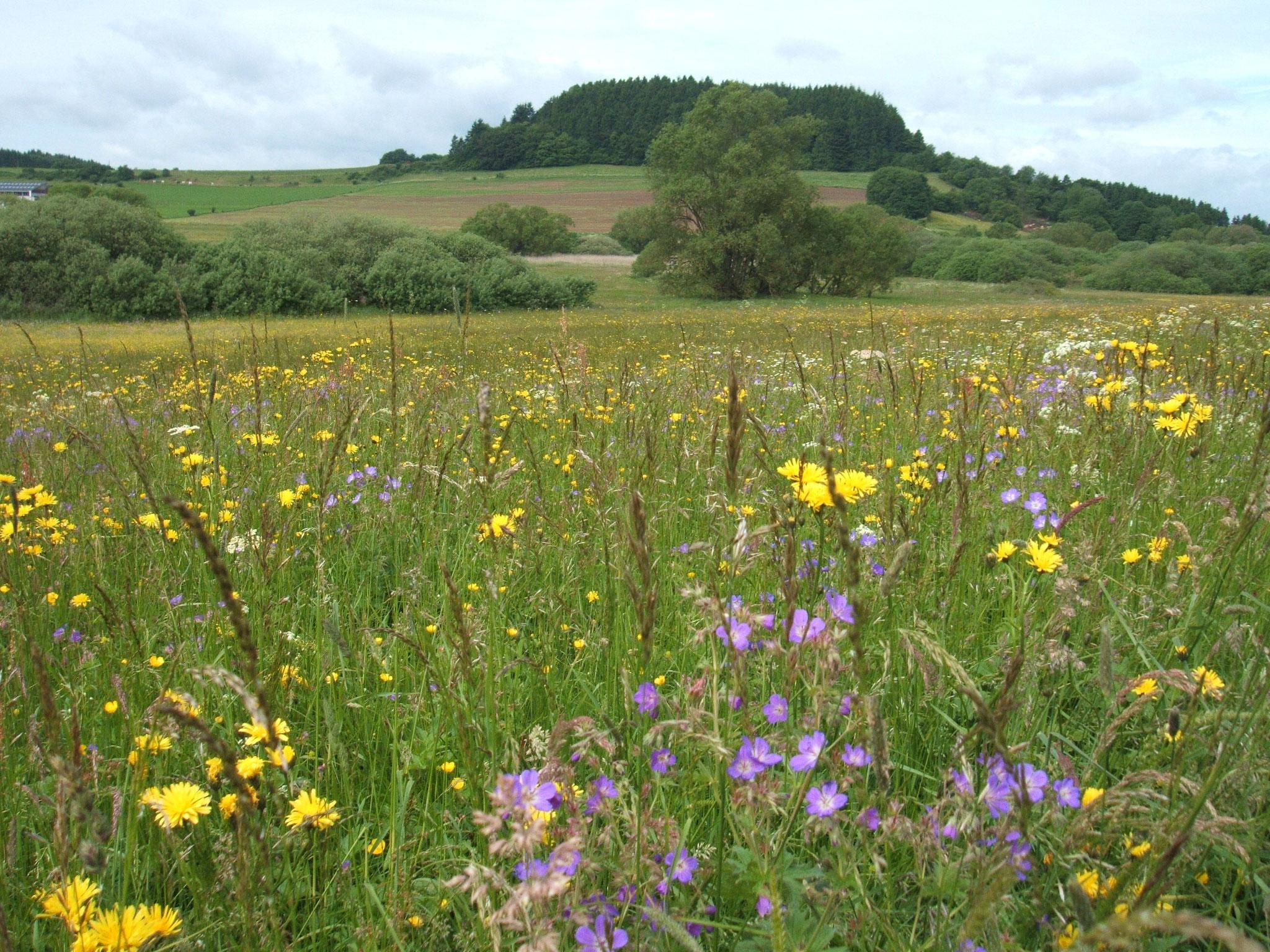 Im Mai verwandeln sich die NABU-Flächen im Kirchweiler Rohr in einen Blütenteppich