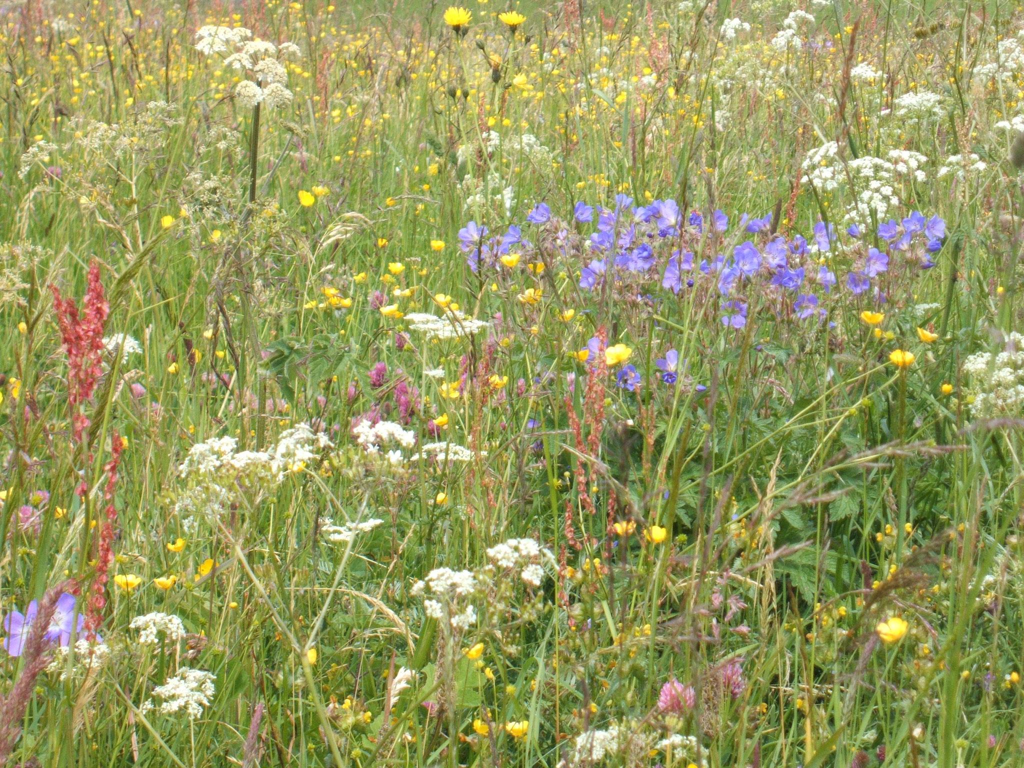 Blumenpracht auf Extensivwiese bei Hinterweiler