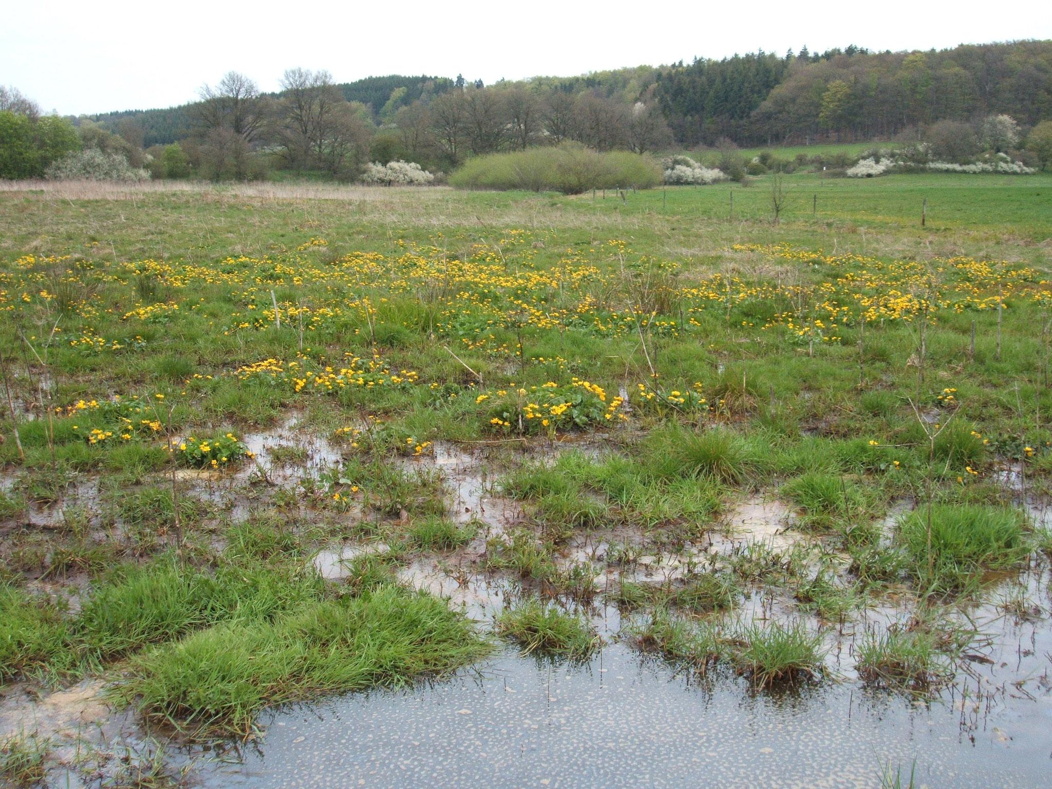 Nasswiese mit Sumpfdotterblumen im Mittelweiher bei Ellscheid