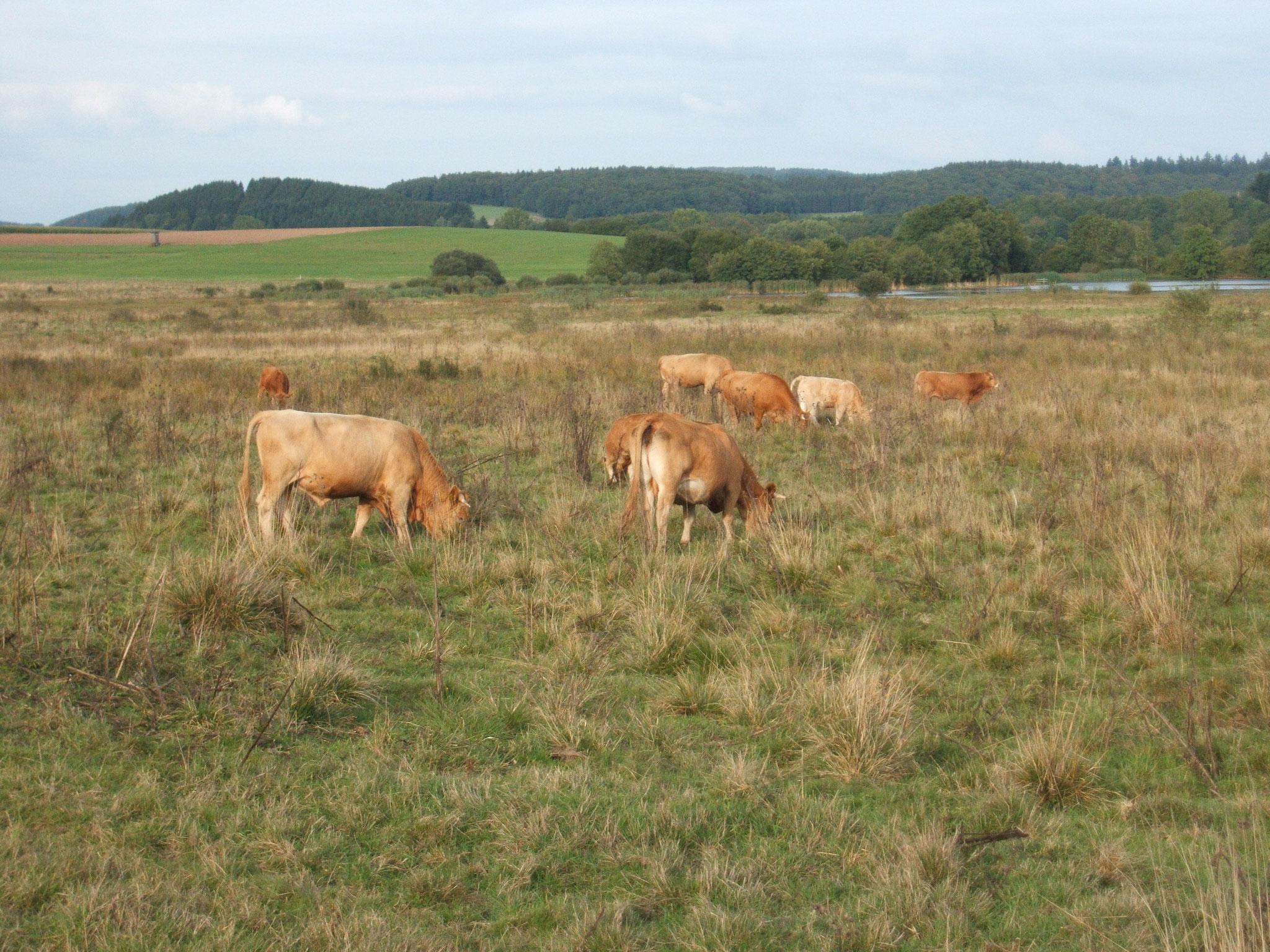 Glanrinder beweiden die NABU-Flächen am Sangweiher