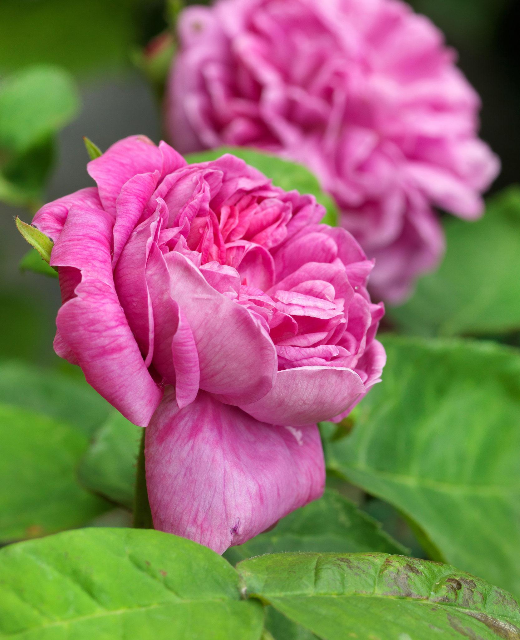 La rose Henri Le Sidaner