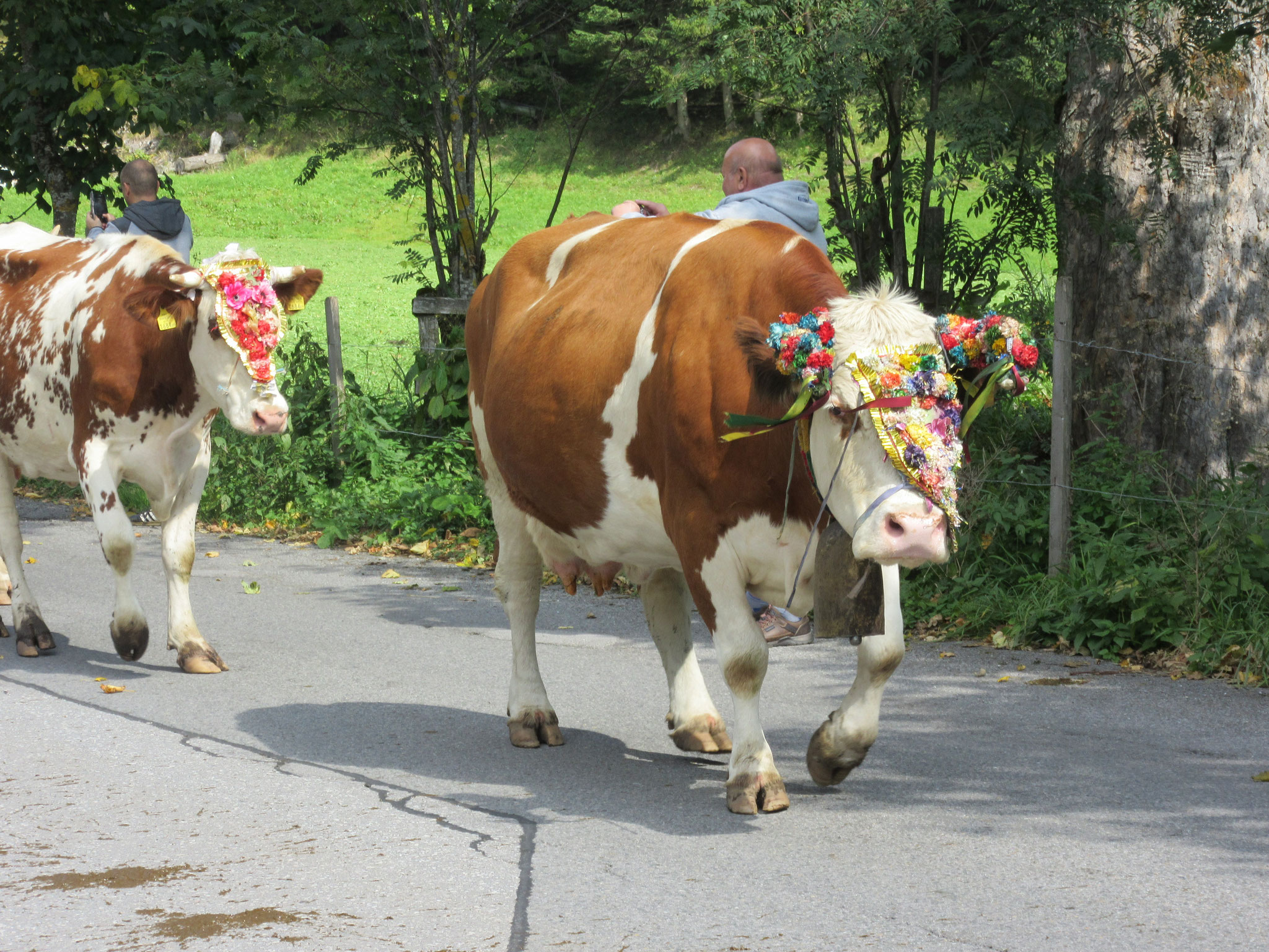 """""""Almabtrieb"""" - bringing the cows down from the high pastures in autumn"""