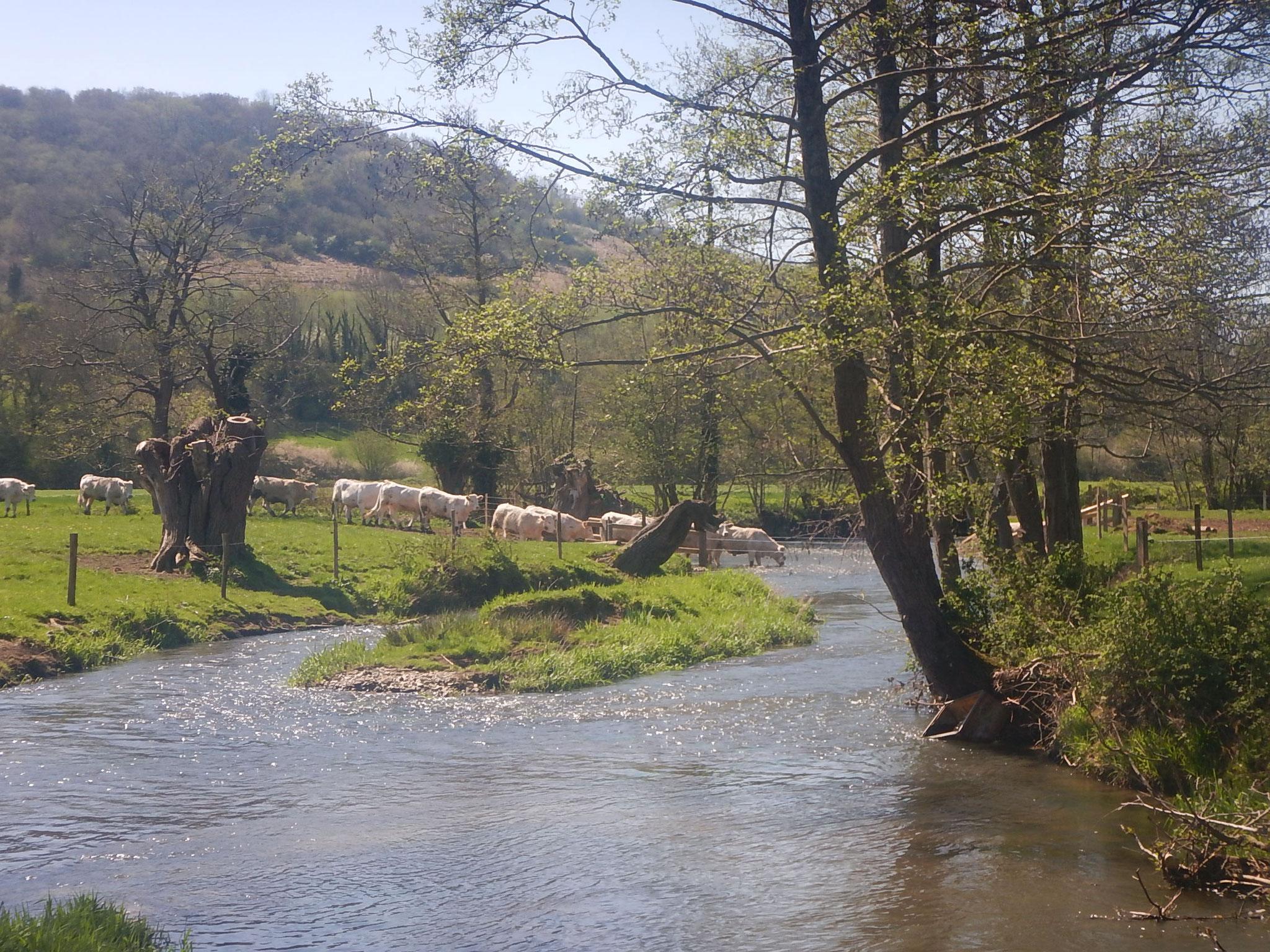 Mise à l'herbe des bovins.
