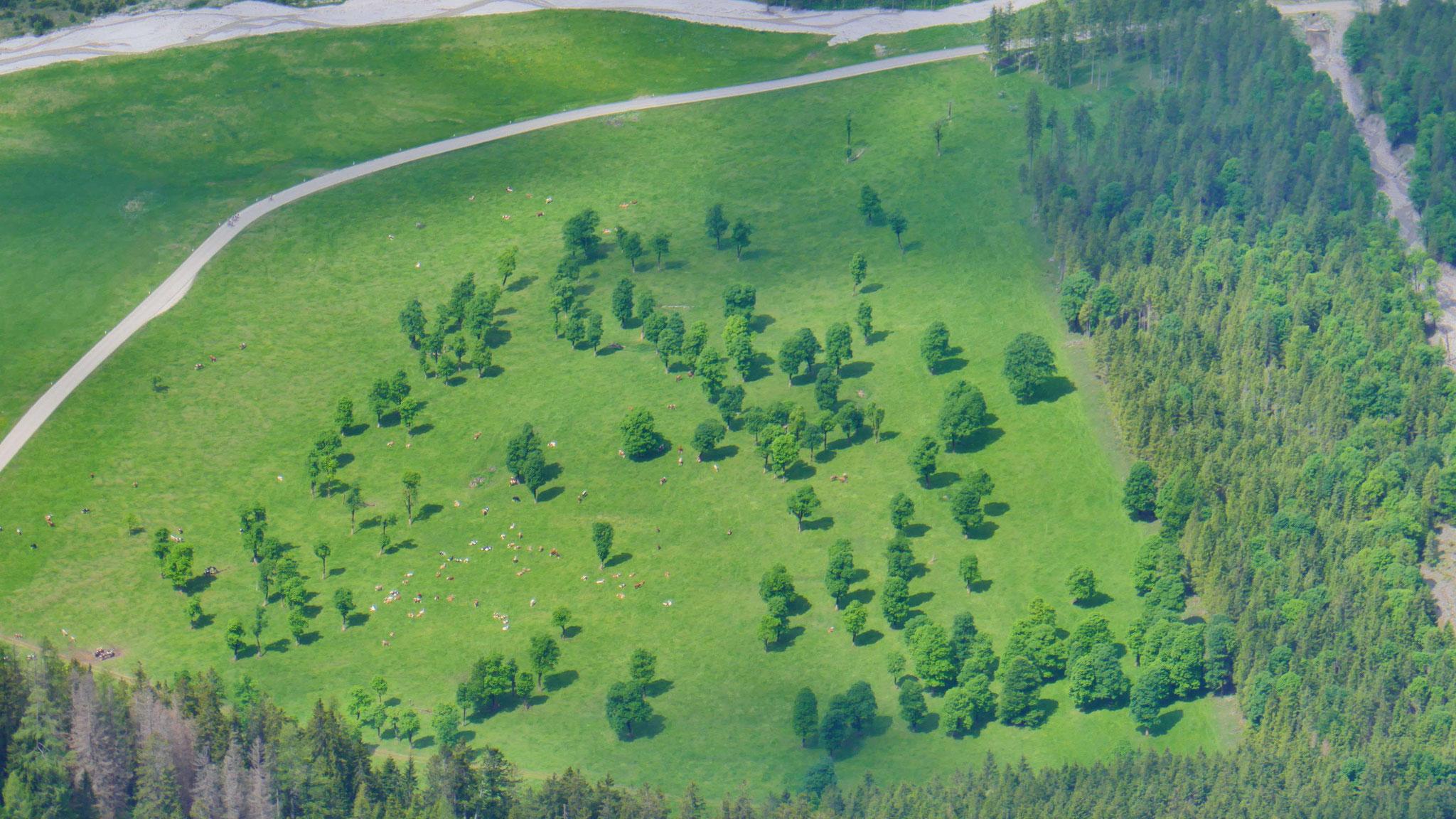 Ahornbäume in der Eng