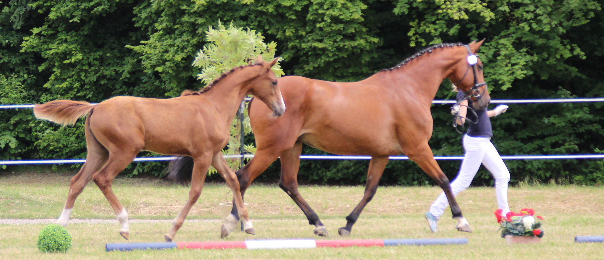 Little Lola EW v. Balou du Rouet a.d. Elitestute Little Rose EW (Chacco Blue/Landadel)