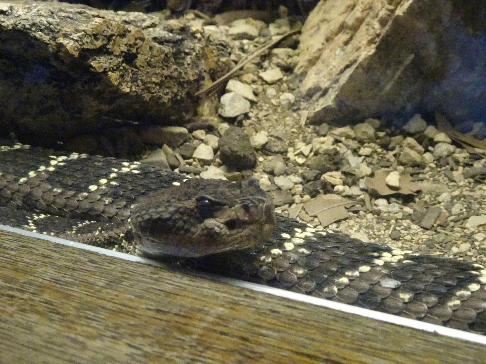 Serpent de l'Arizona-Sonora Désert Museum