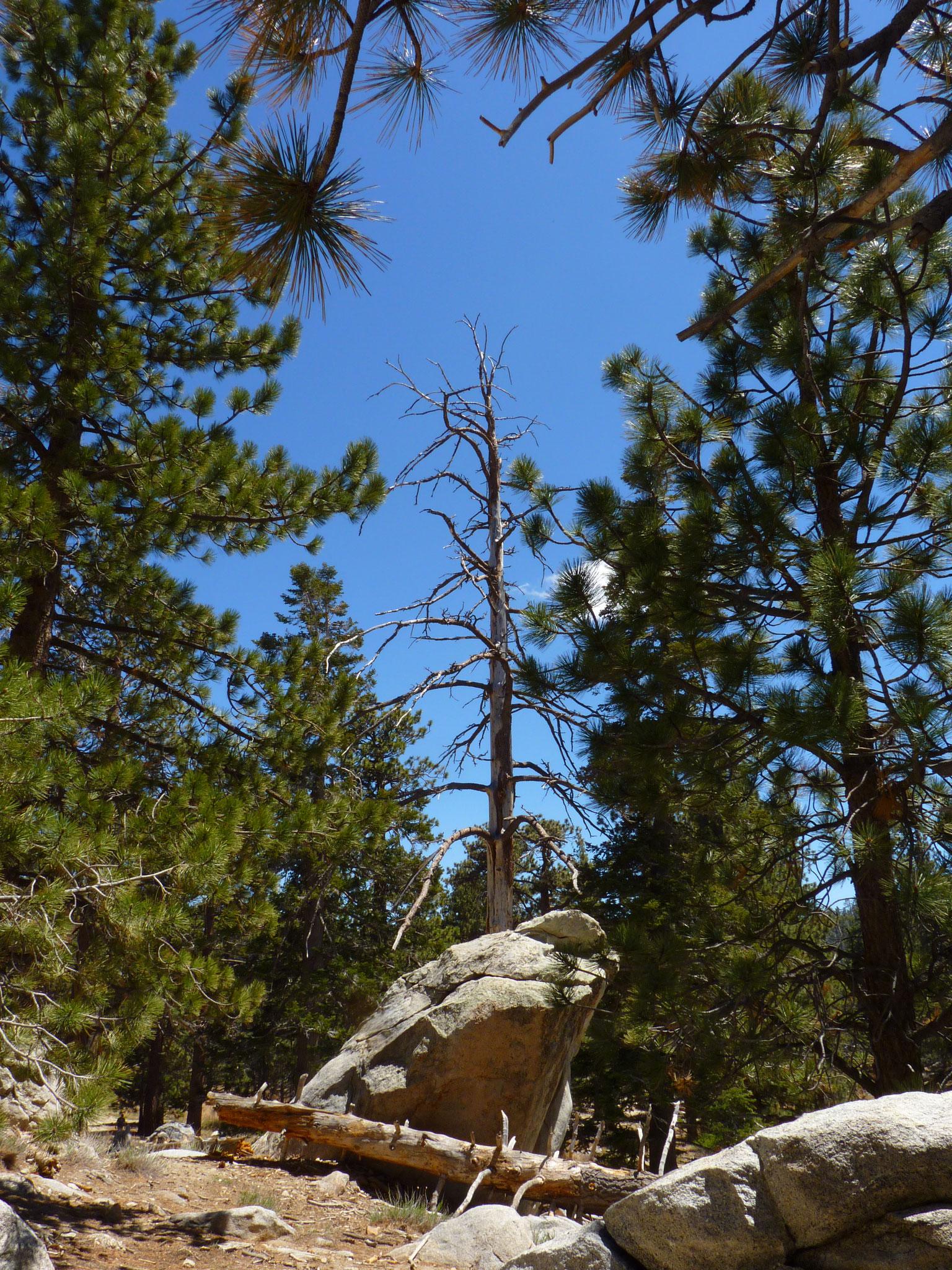Dans les bois du Mont San Jacinto