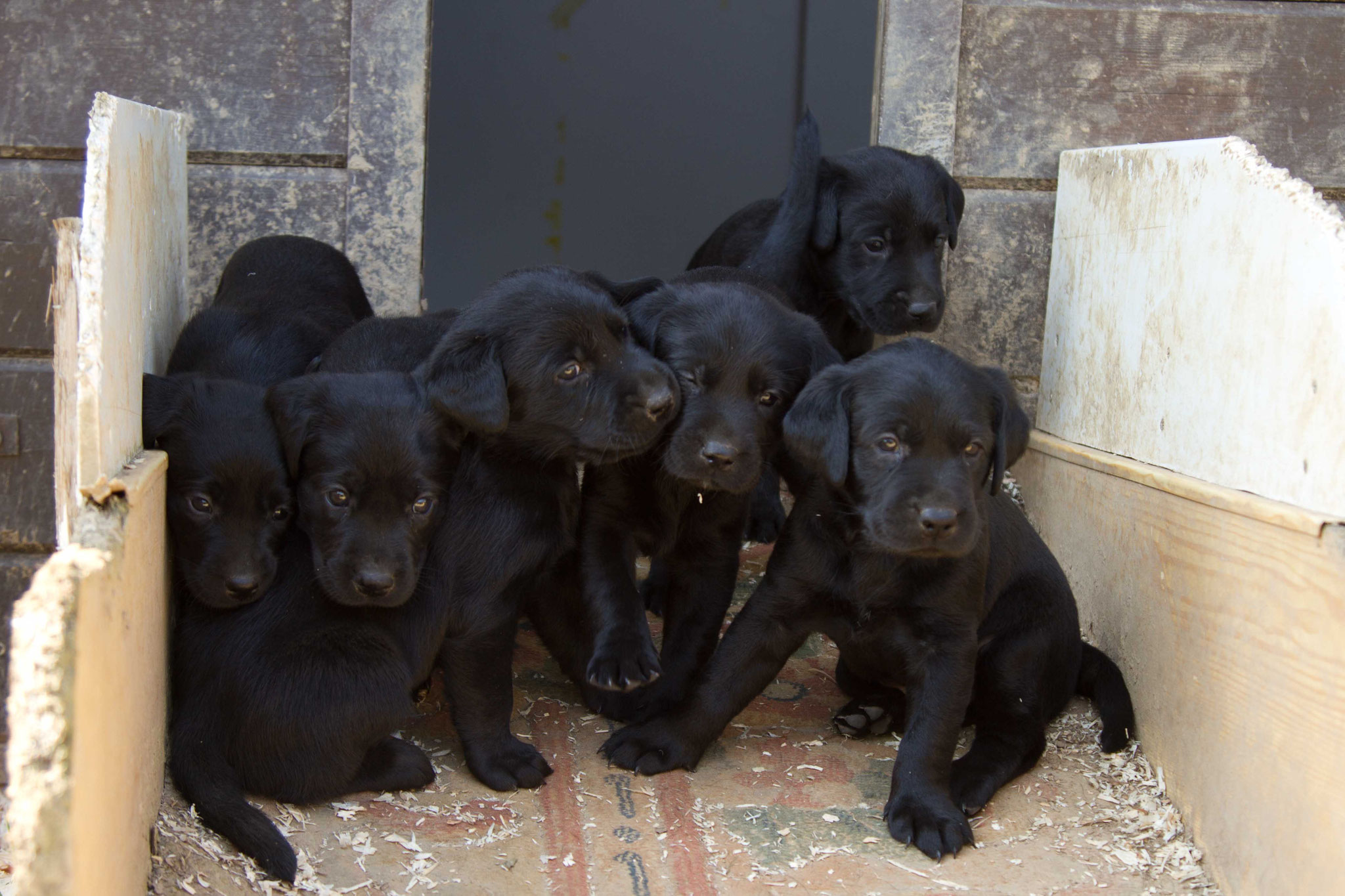Starcreek Puppies
