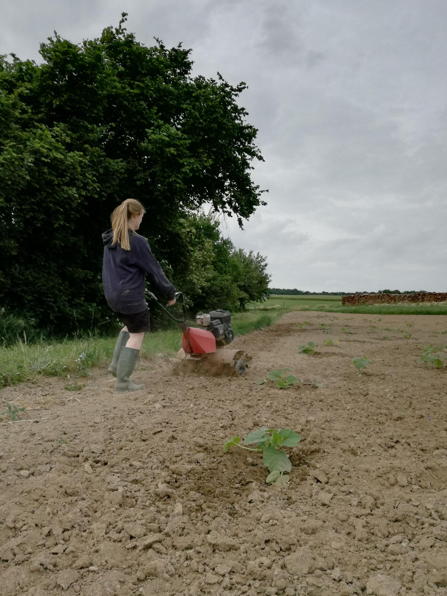 Das Unkraut wird gehackt, denn es werden keine Pestizide verwendet.