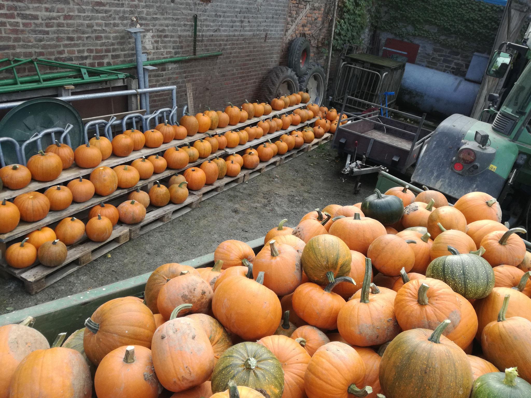 Halloween-Kürbisse im Hof.