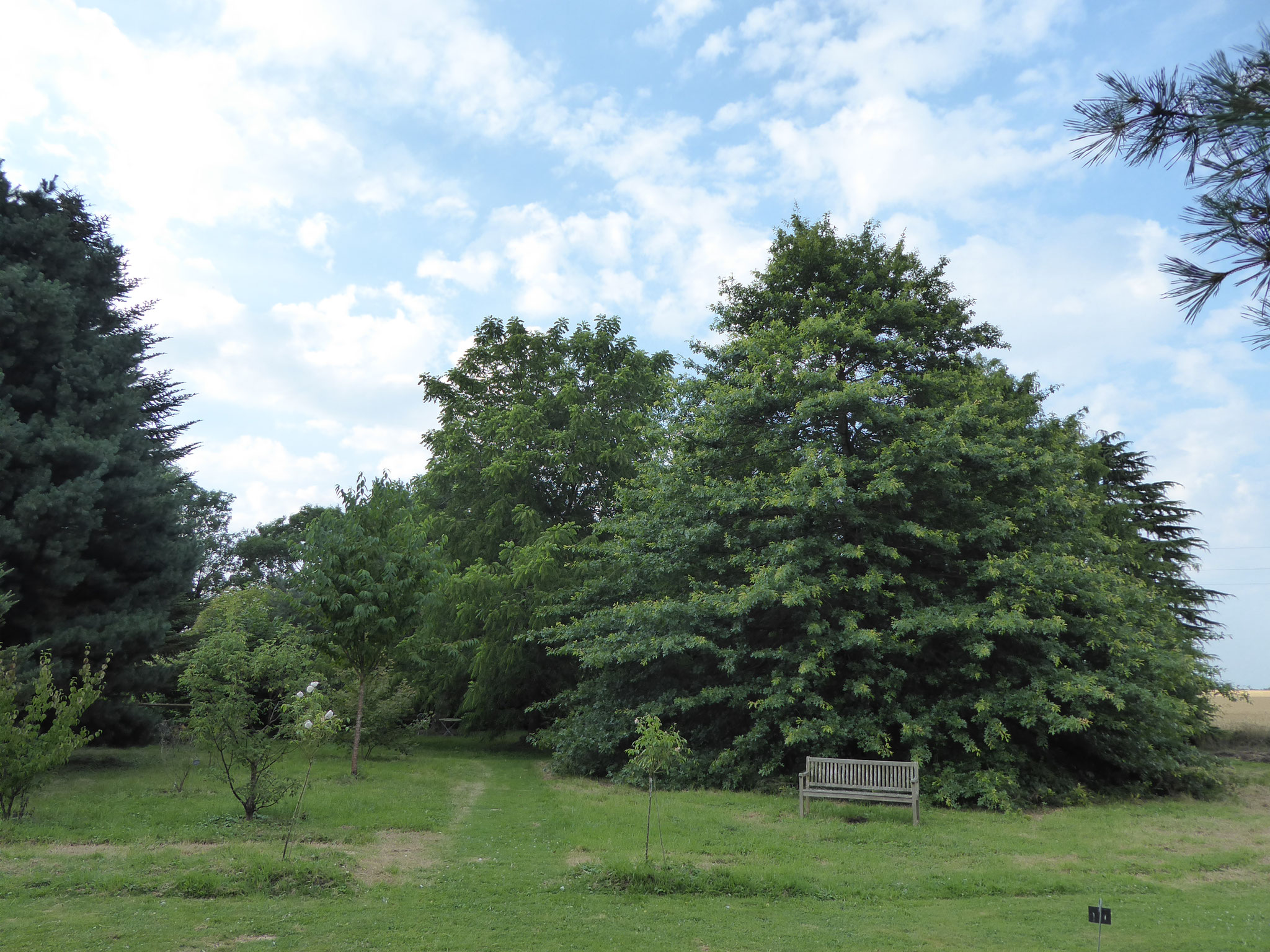 Le Quercus palustris