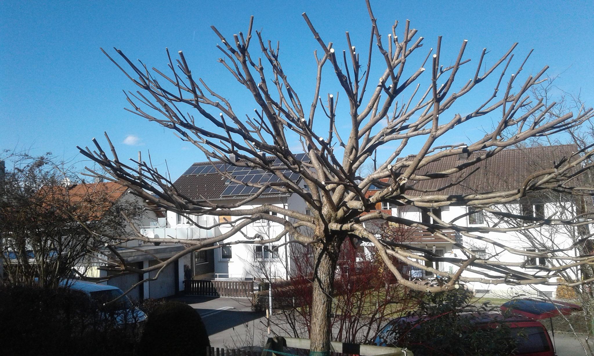 Trompetenbaum nach Winterschnitt
