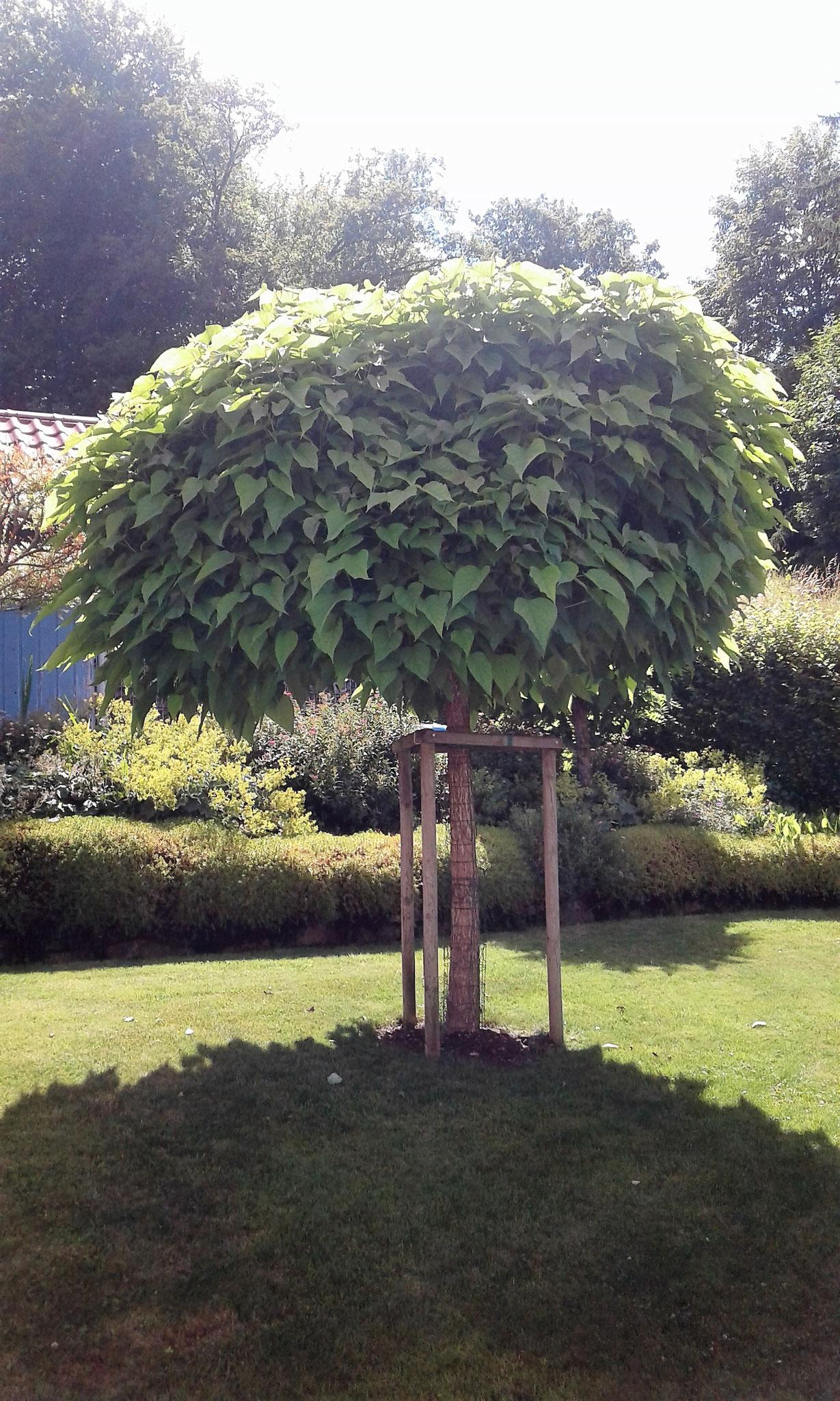 Trompetenbaum im Juni