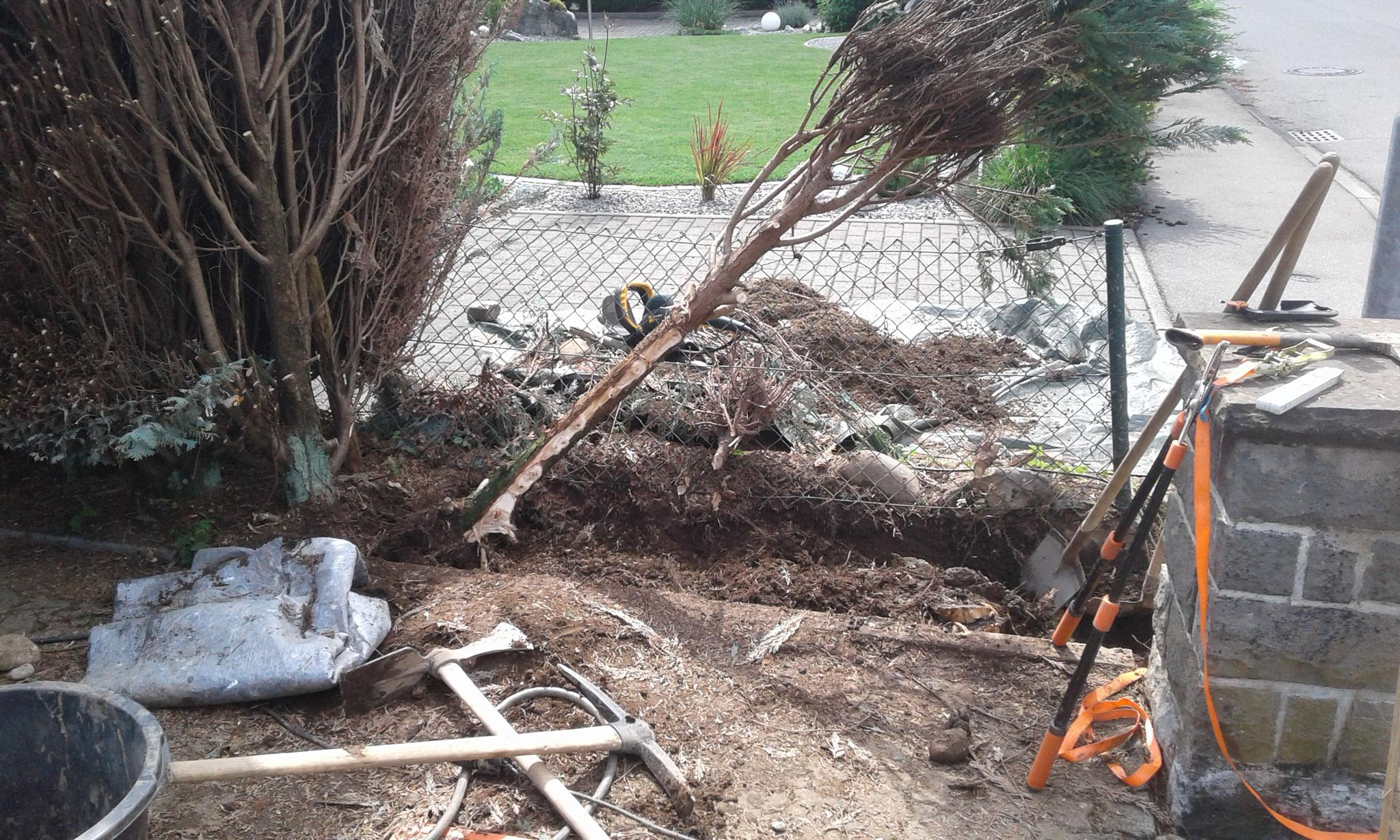 Heckenentfernung und-neuanlage Wangen - Entfernung alte Hecke