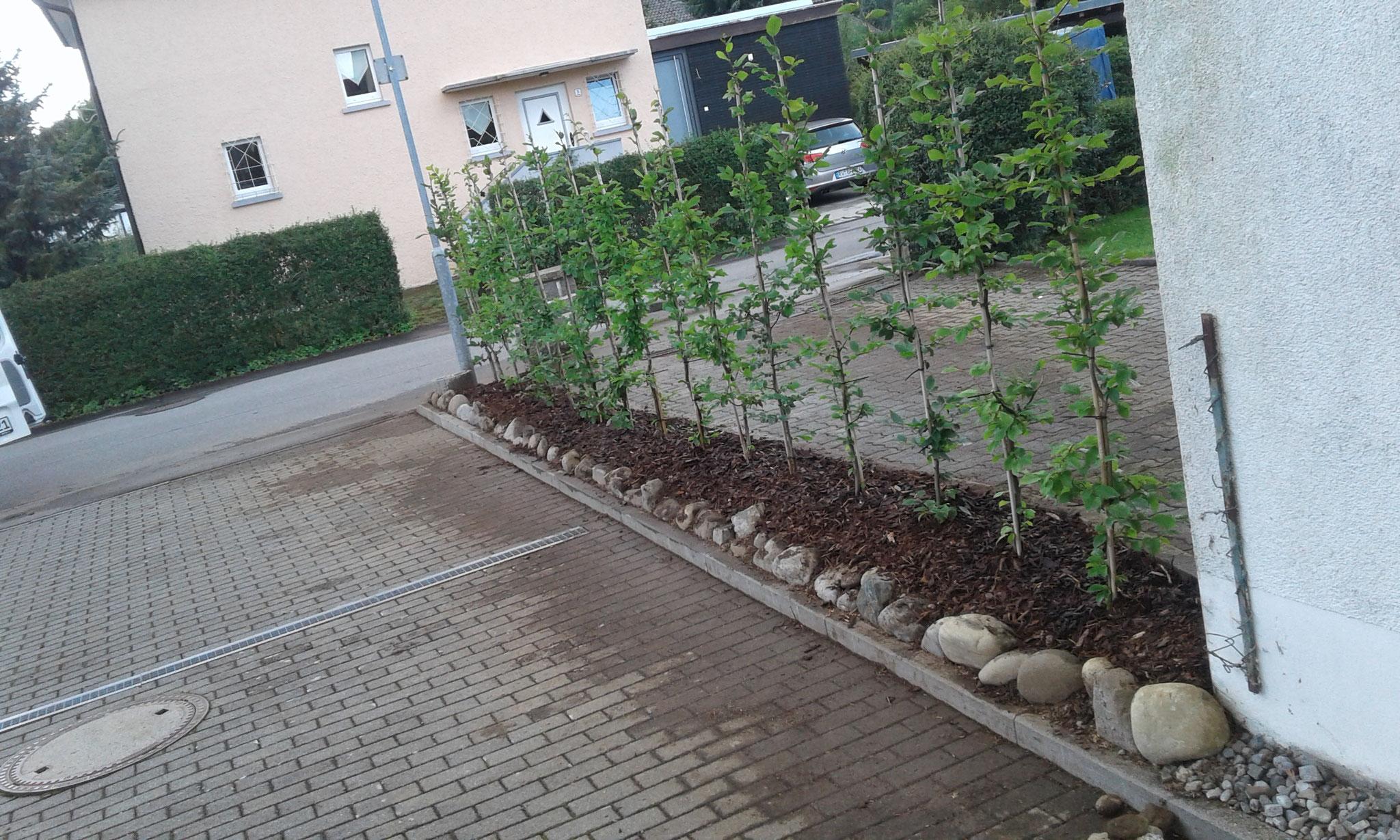 Heckenentfernung und-neuanlage 2017 Wangen - NACHHER