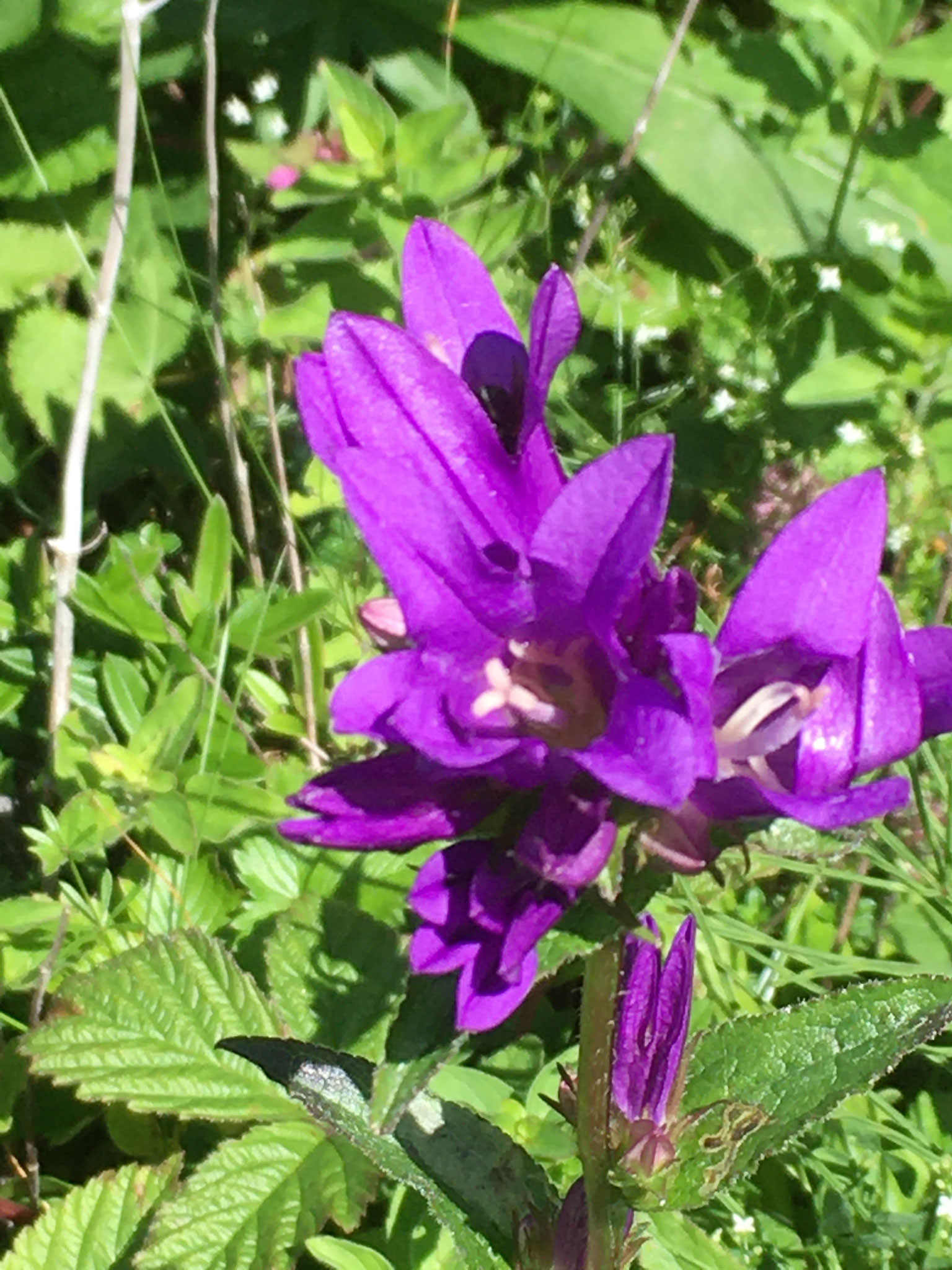 Knäuel Glockenblume (Hintertal)