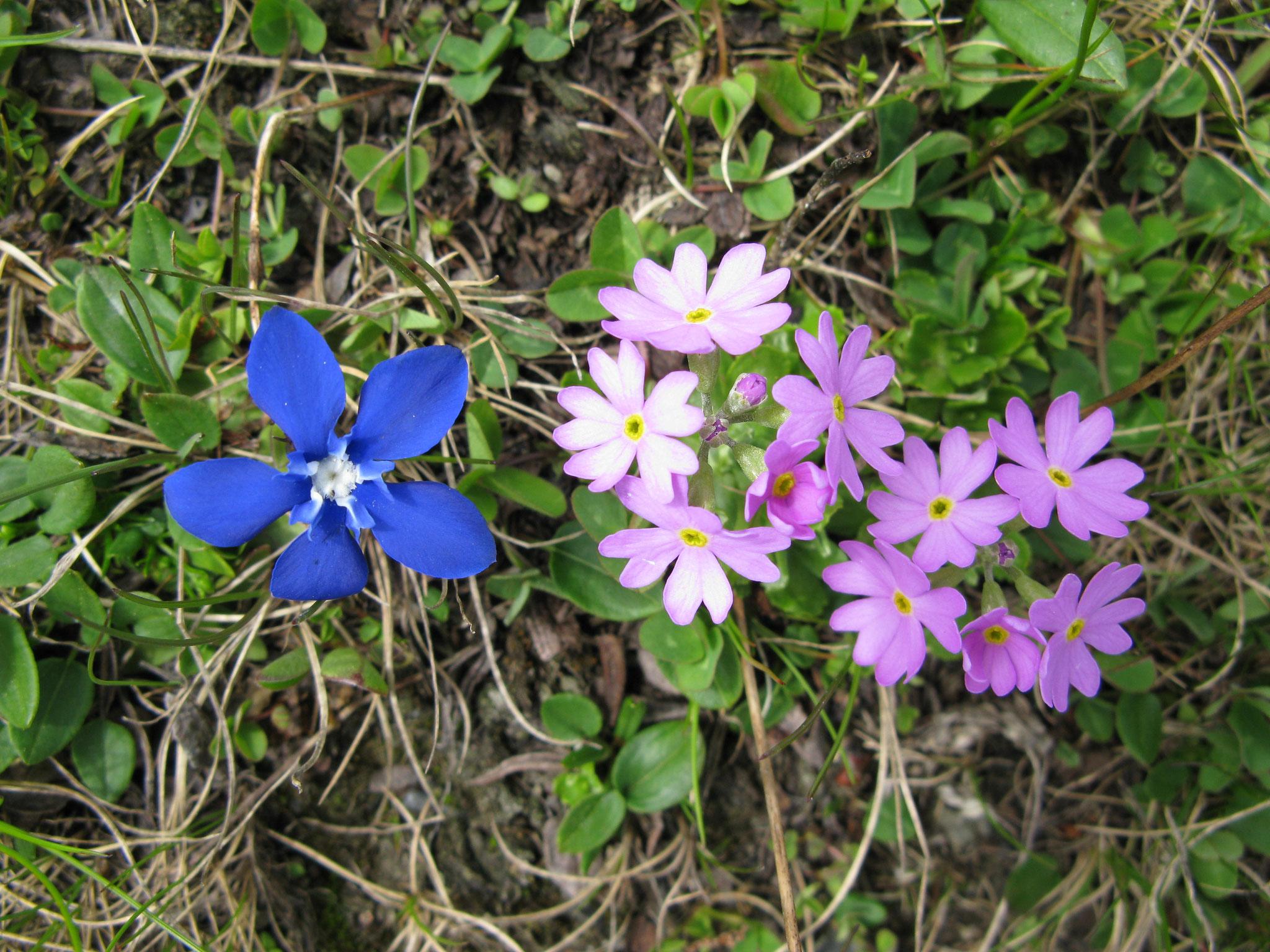Frühlingsenzian und Primel