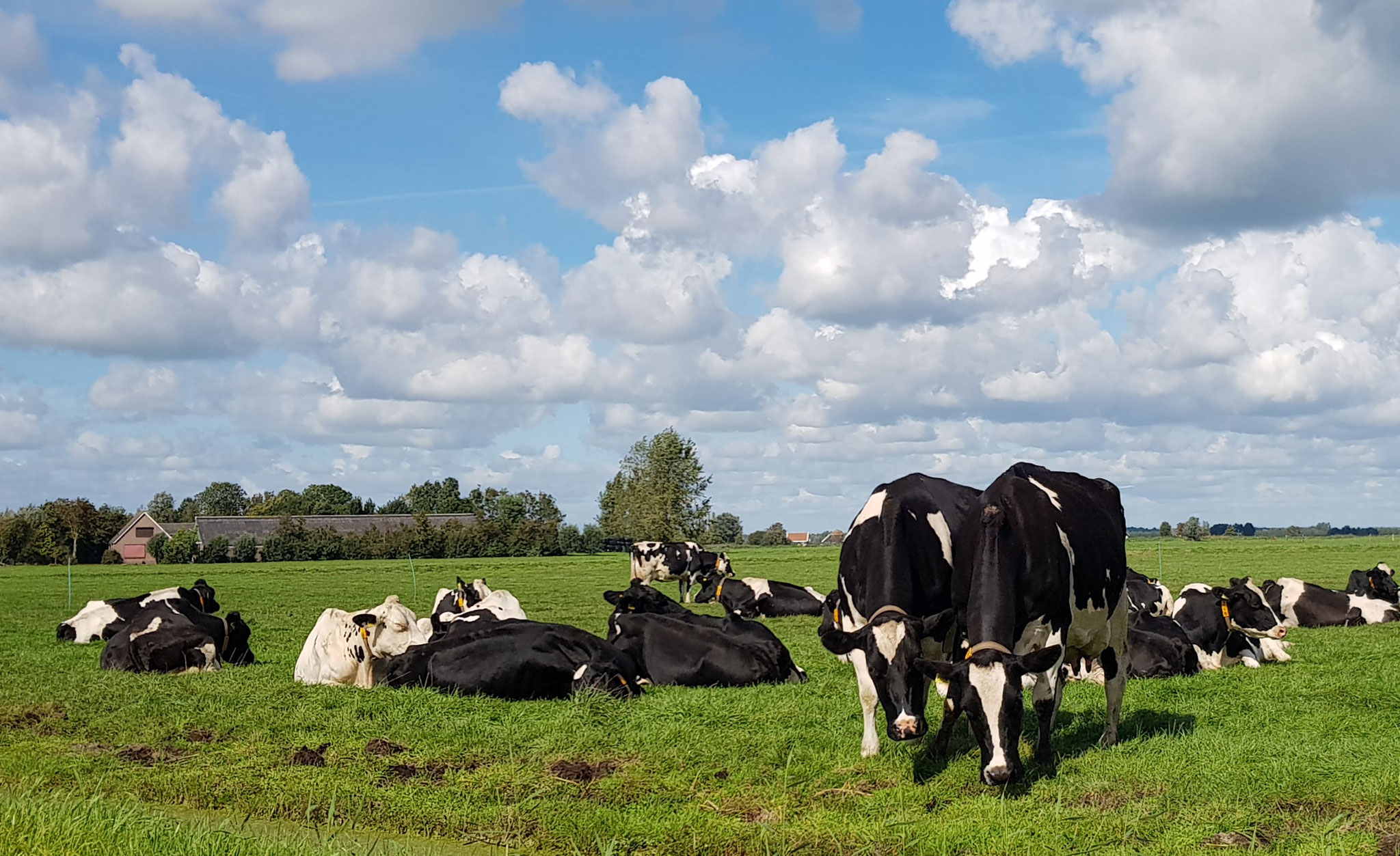 Dutch Cows in Zunderdorp NH 5