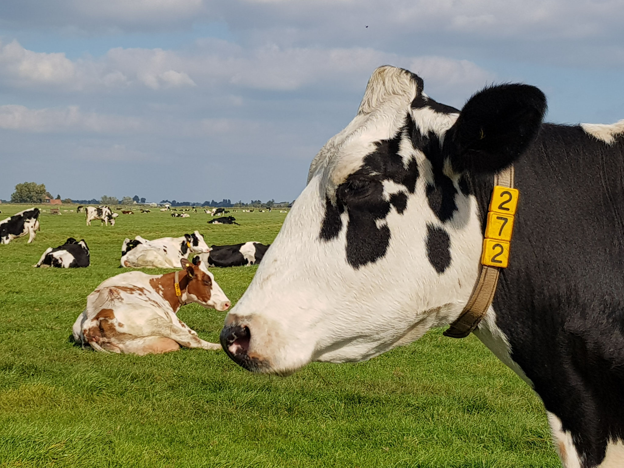 Dutch Cows in Zunderdorp NH 39