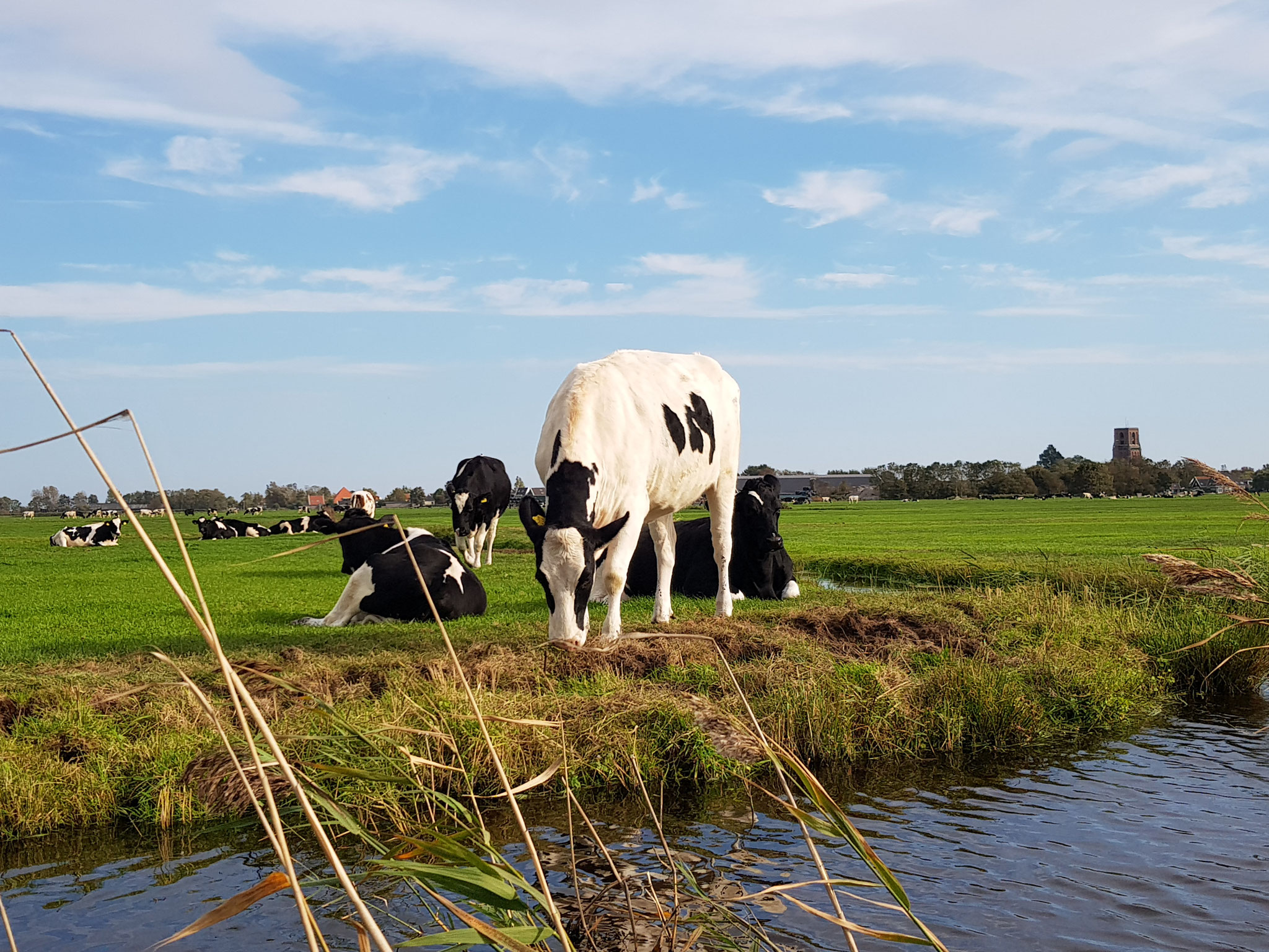 Dutch Cows in Zunderdorp NH 85