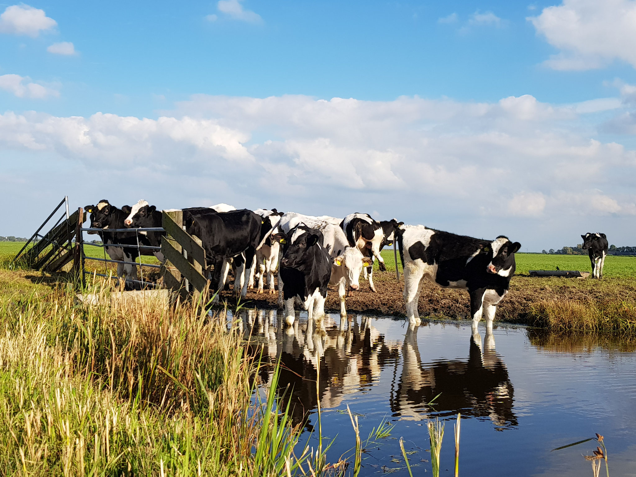 Dutch Cows in Zunderdorp NH 50
