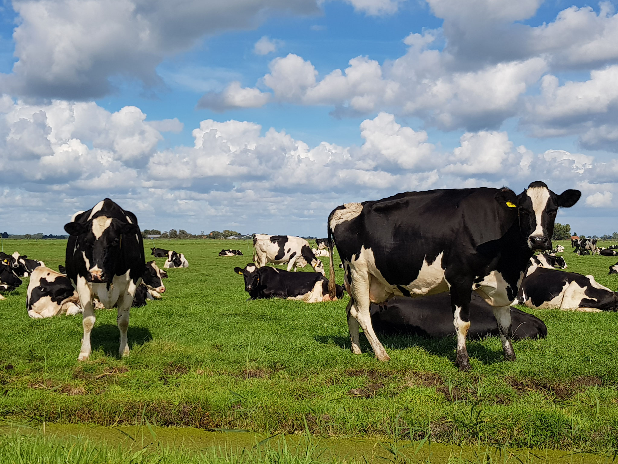 Dutch Cows in Zunderdorp NH 7