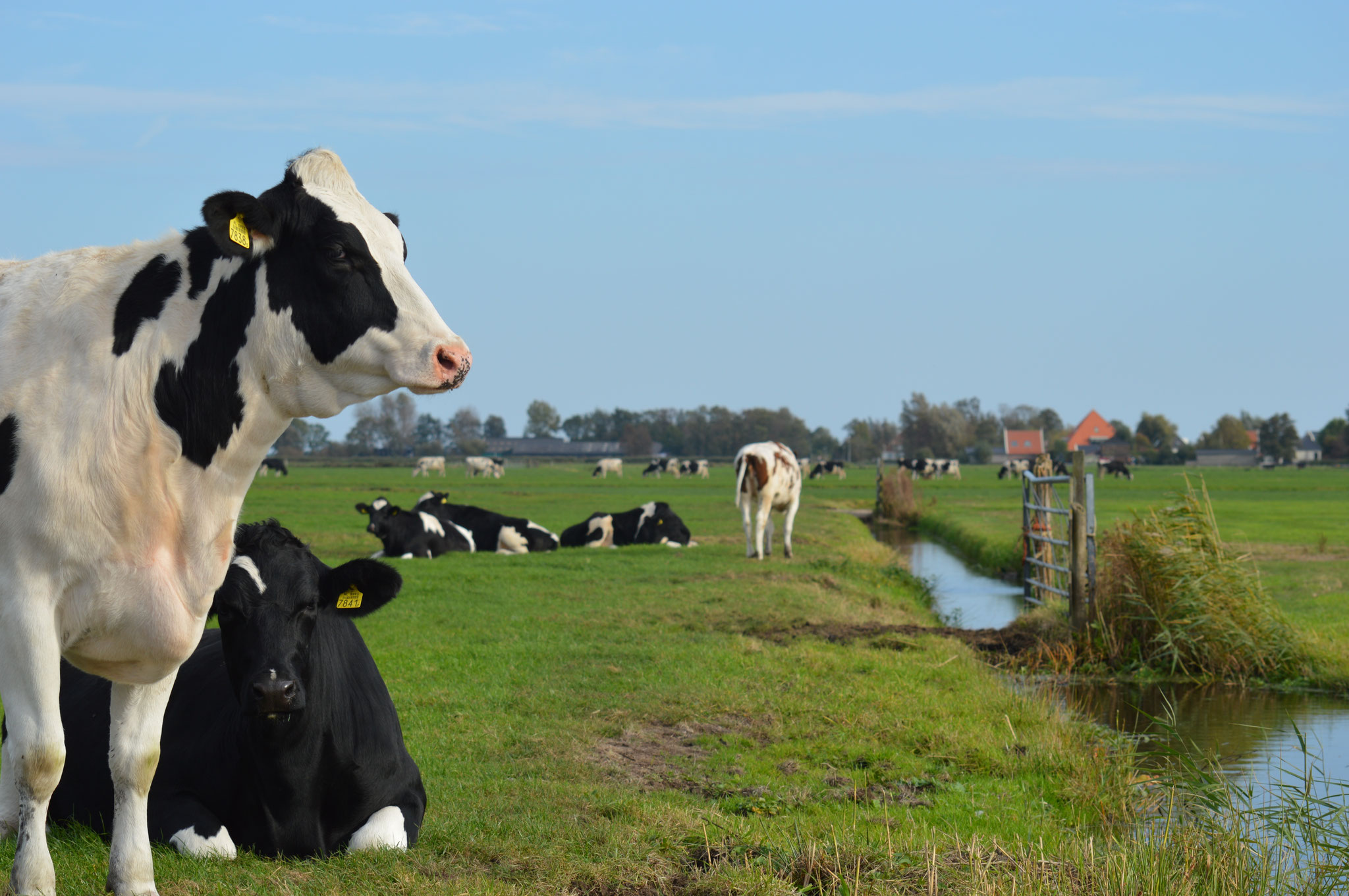 Dutch Cows in Zunderdorp NH 91