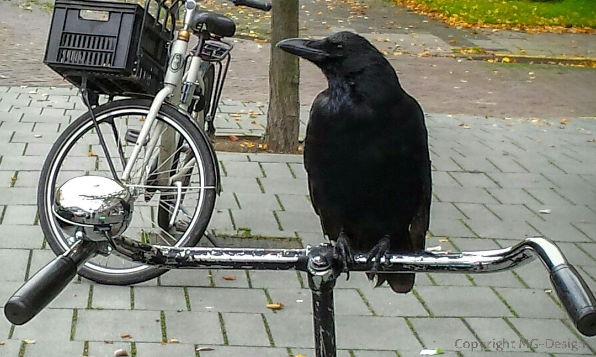 Raven on Bike