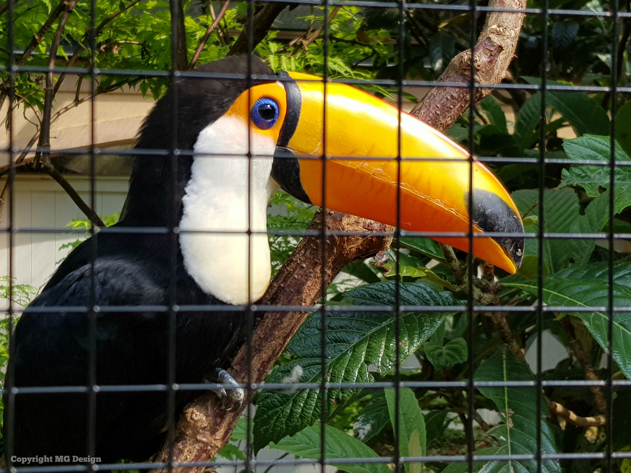 Toucan (Toekan)