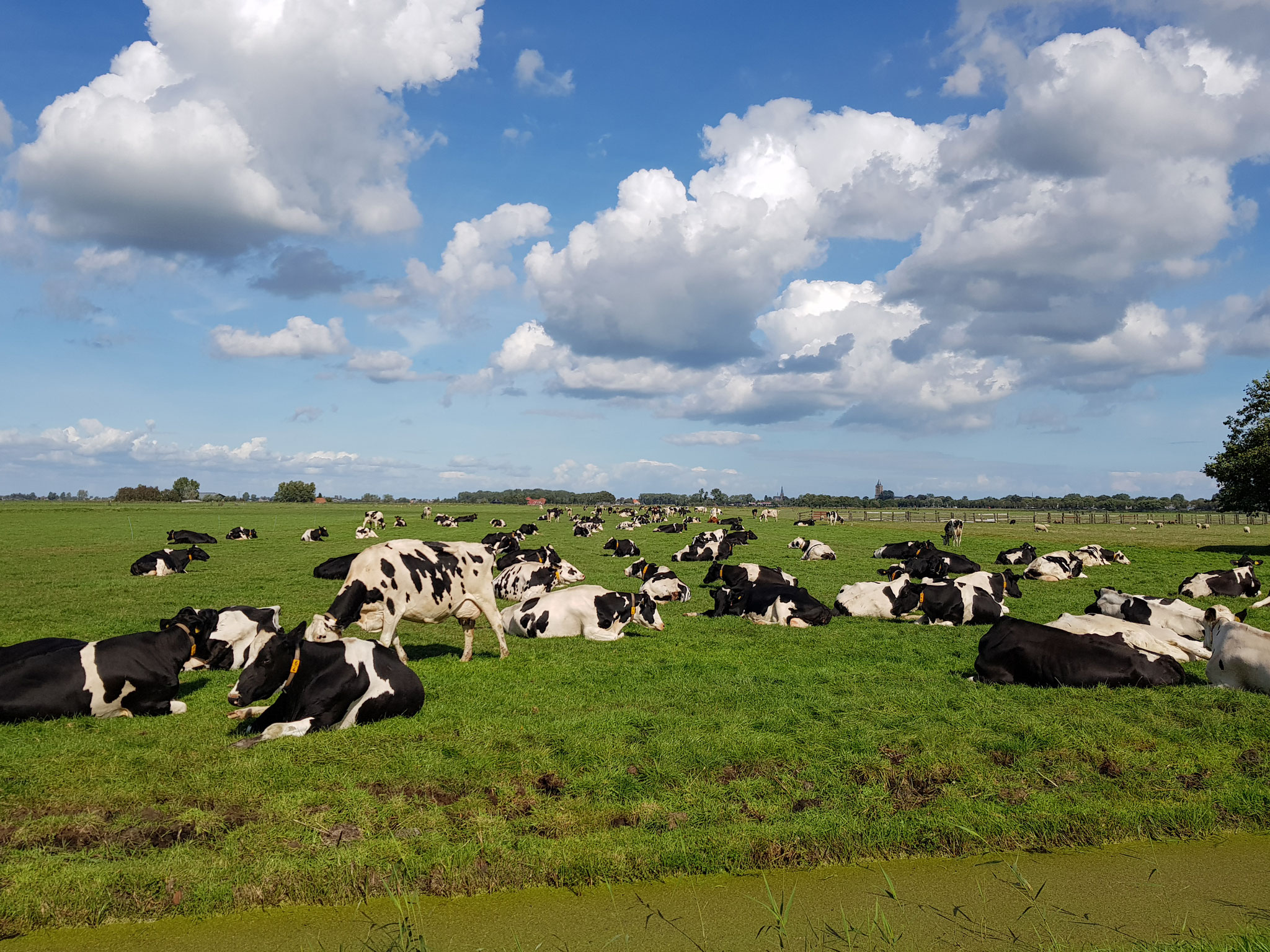 Dutch Cows in Zunderdorp NH 11