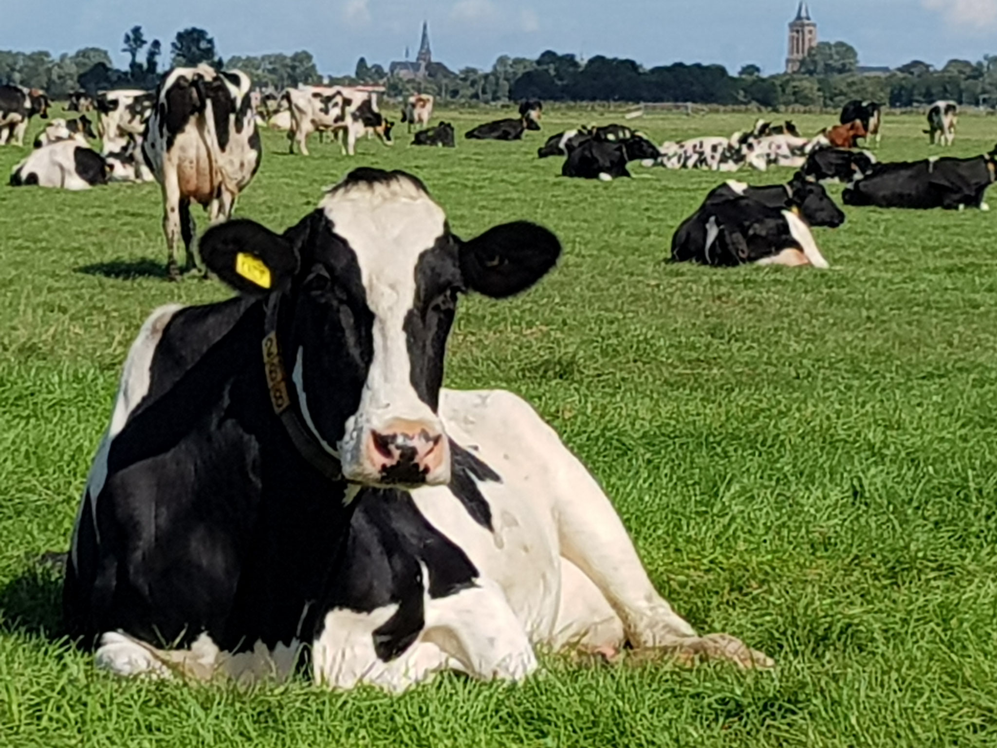 Dutch Cows in Zunderdorp NH 14