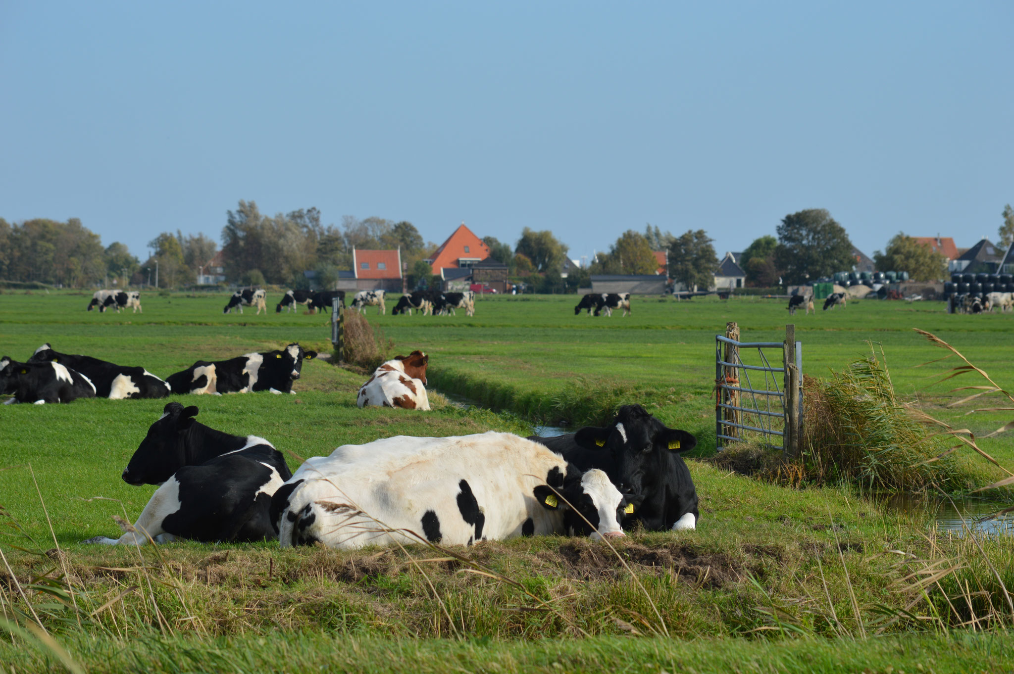 Dutch Cows in Zunderdorp NH 87