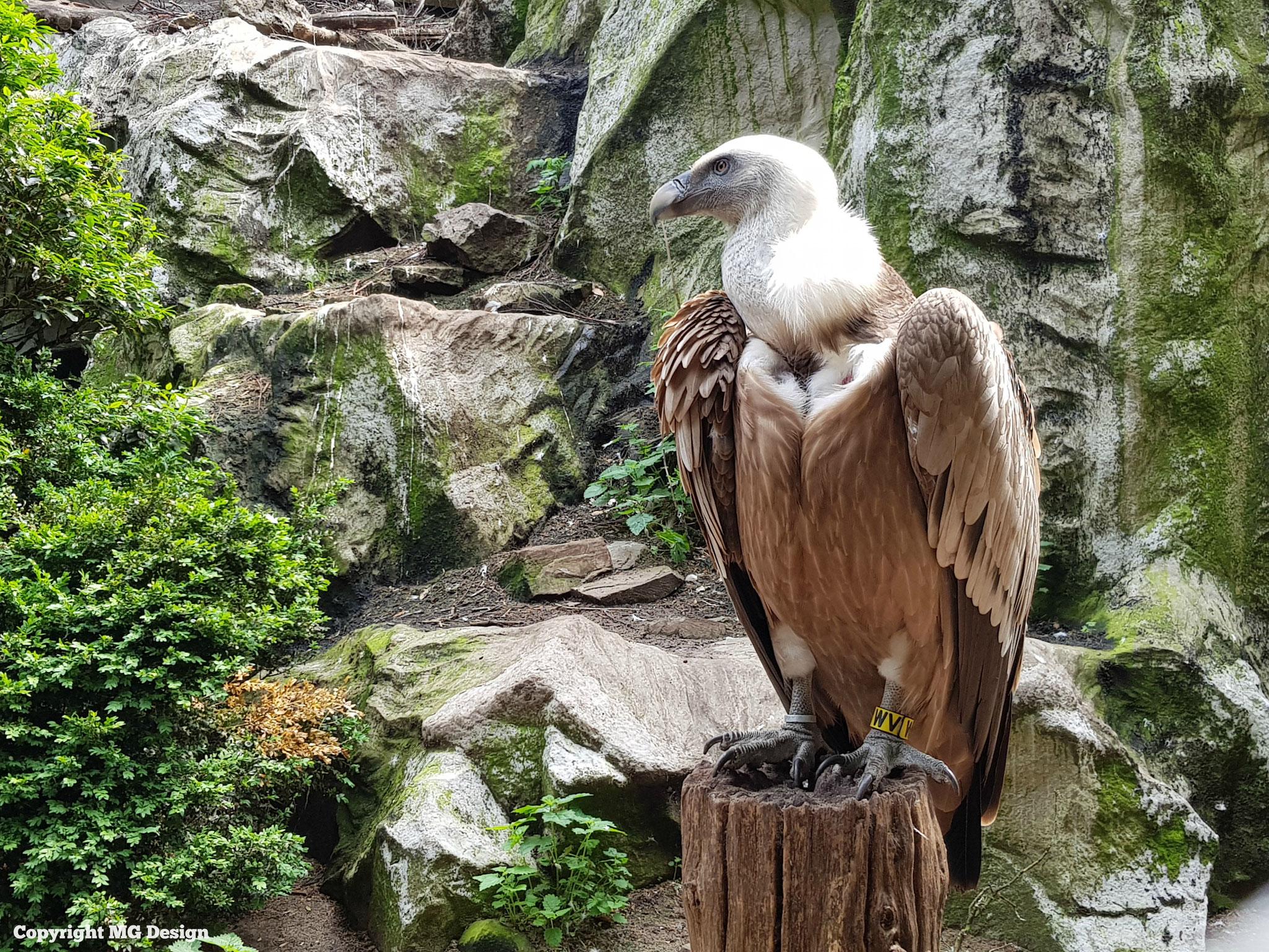 Vulture (Gier)
