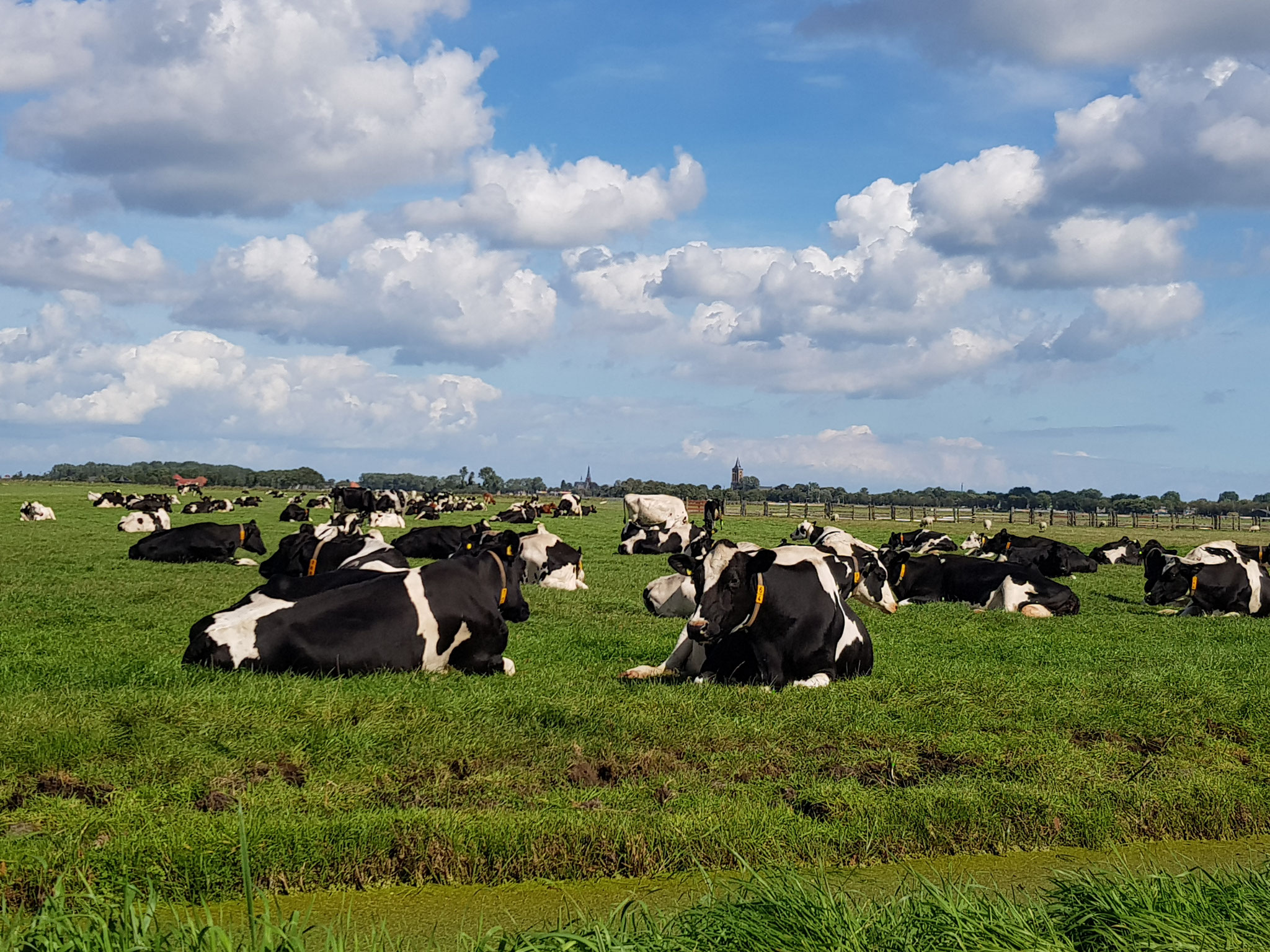 Dutch Cows in Zunderdorp NH 10