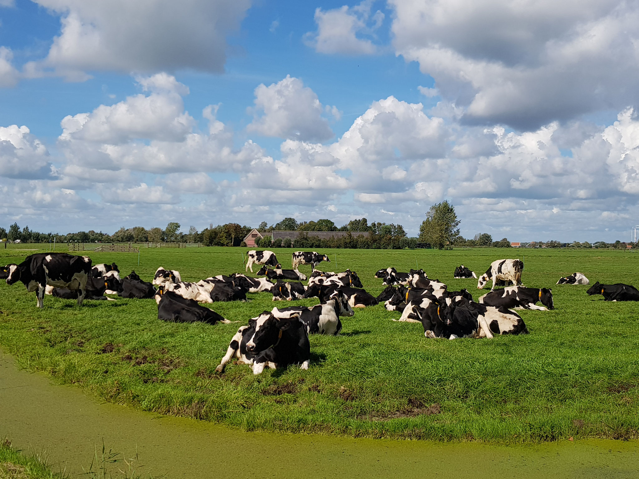 Dutch Cows in Zunderdorp NH 3
