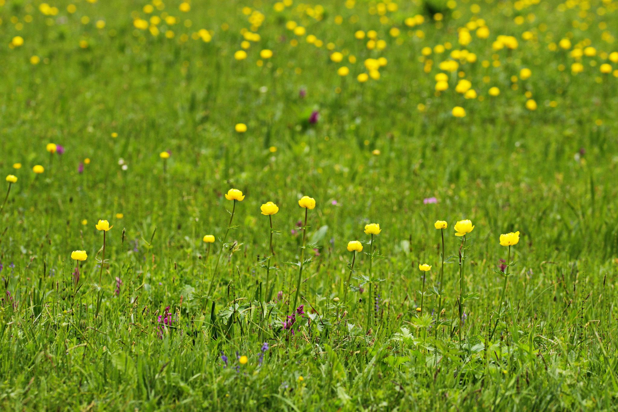 Trollblume, Europäische